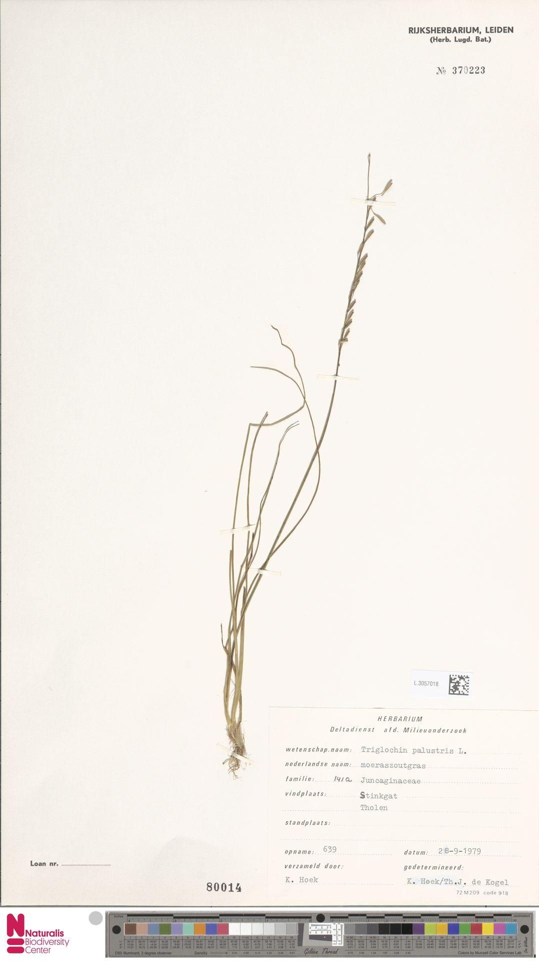 L.3057018 | Triglochin palustris L.