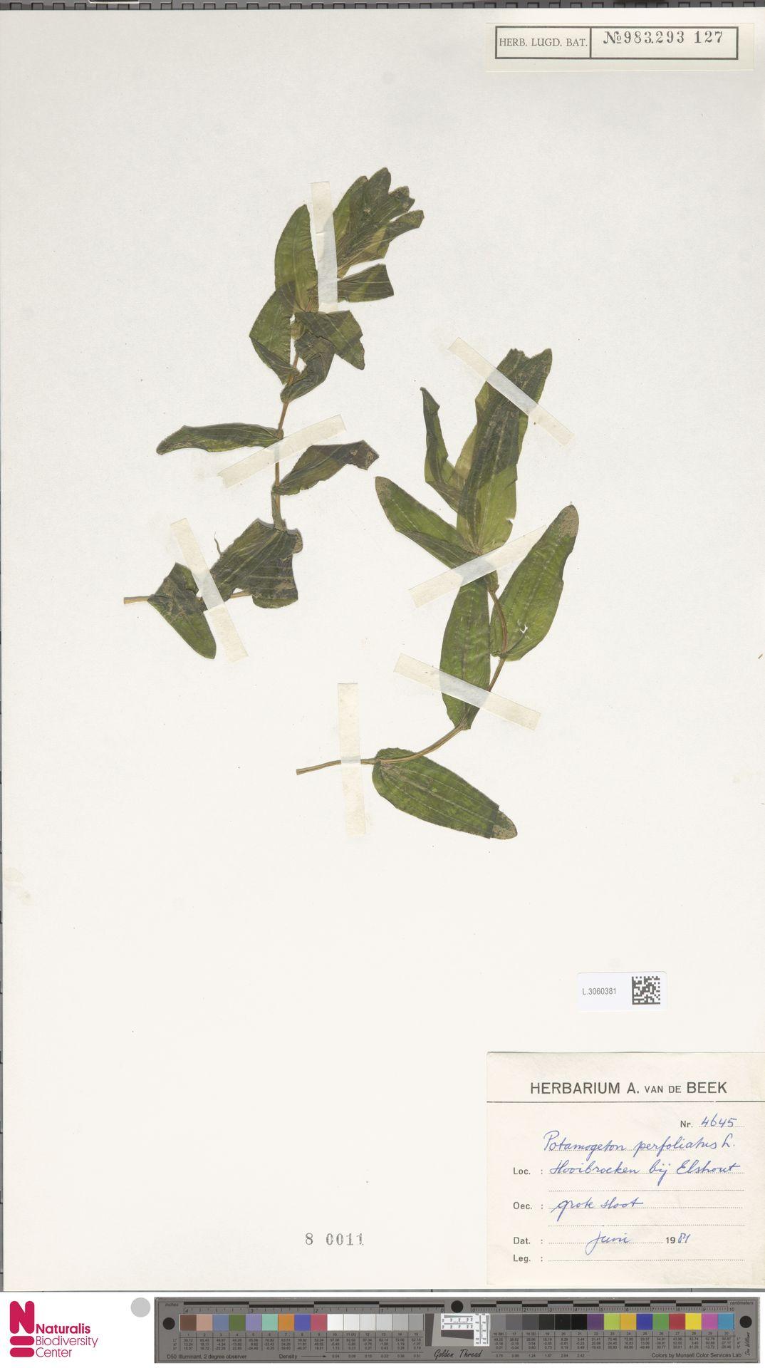 L.3060381 | Potamogeton perfoliatus L.