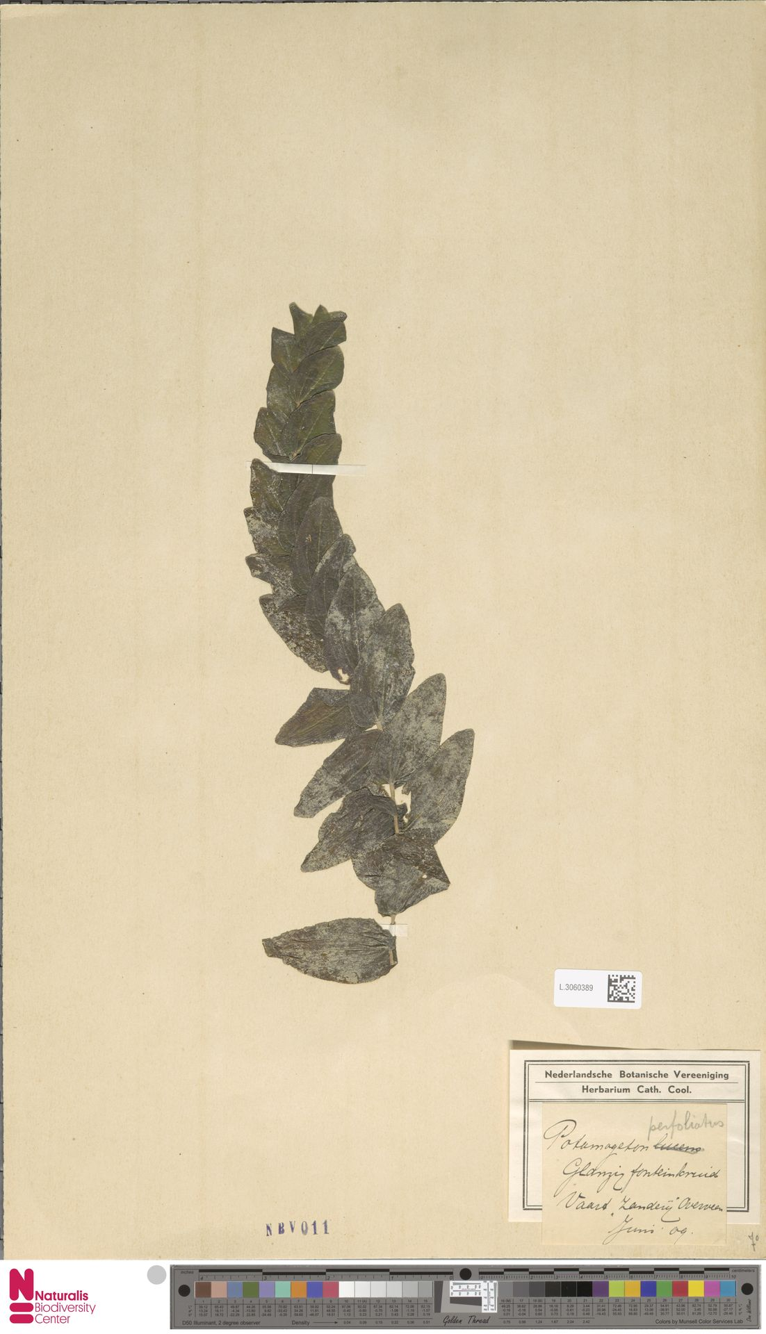 L.3060389   Potamogeton perfoliatus L.