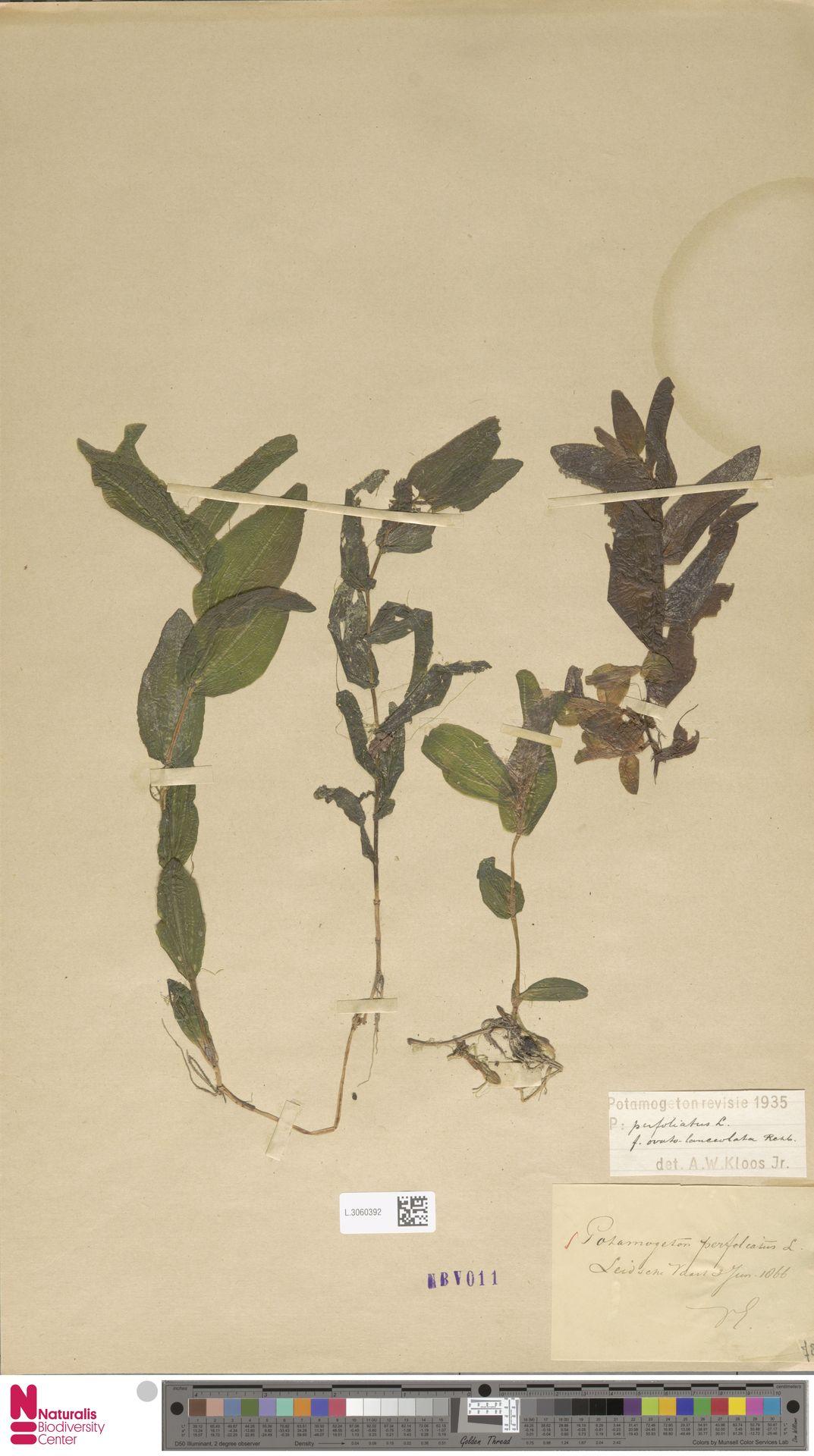 L.3060392   Potamogeton perfoliatus L.