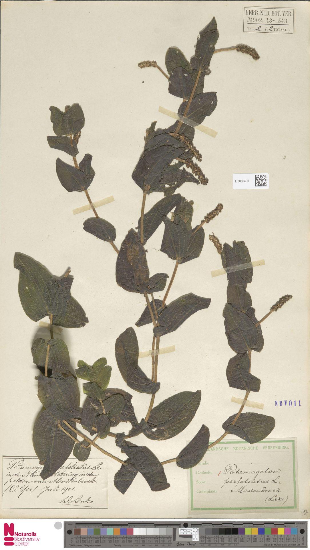 L.3060405   Potamogeton perfoliatus L.