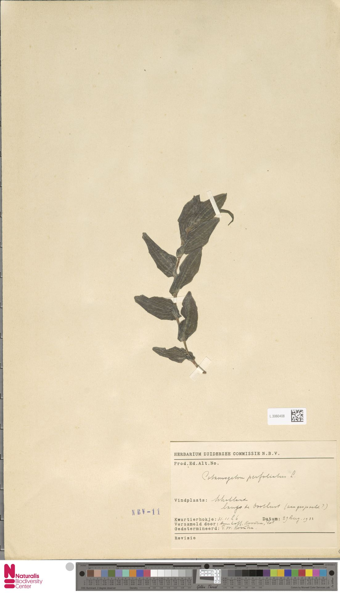 L.3060408   Potamogeton perfoliatus L.
