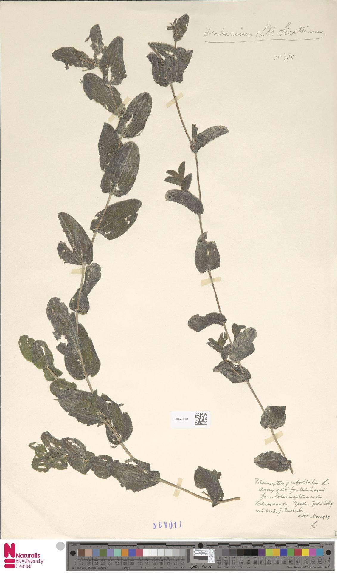 L.3060410   Potamogeton perfoliatus L.