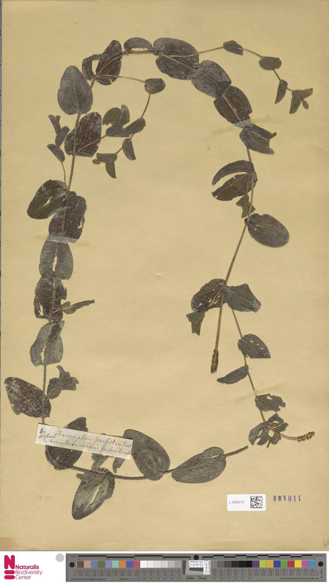 L.3060414 | Potamogeton perfoliatus L.