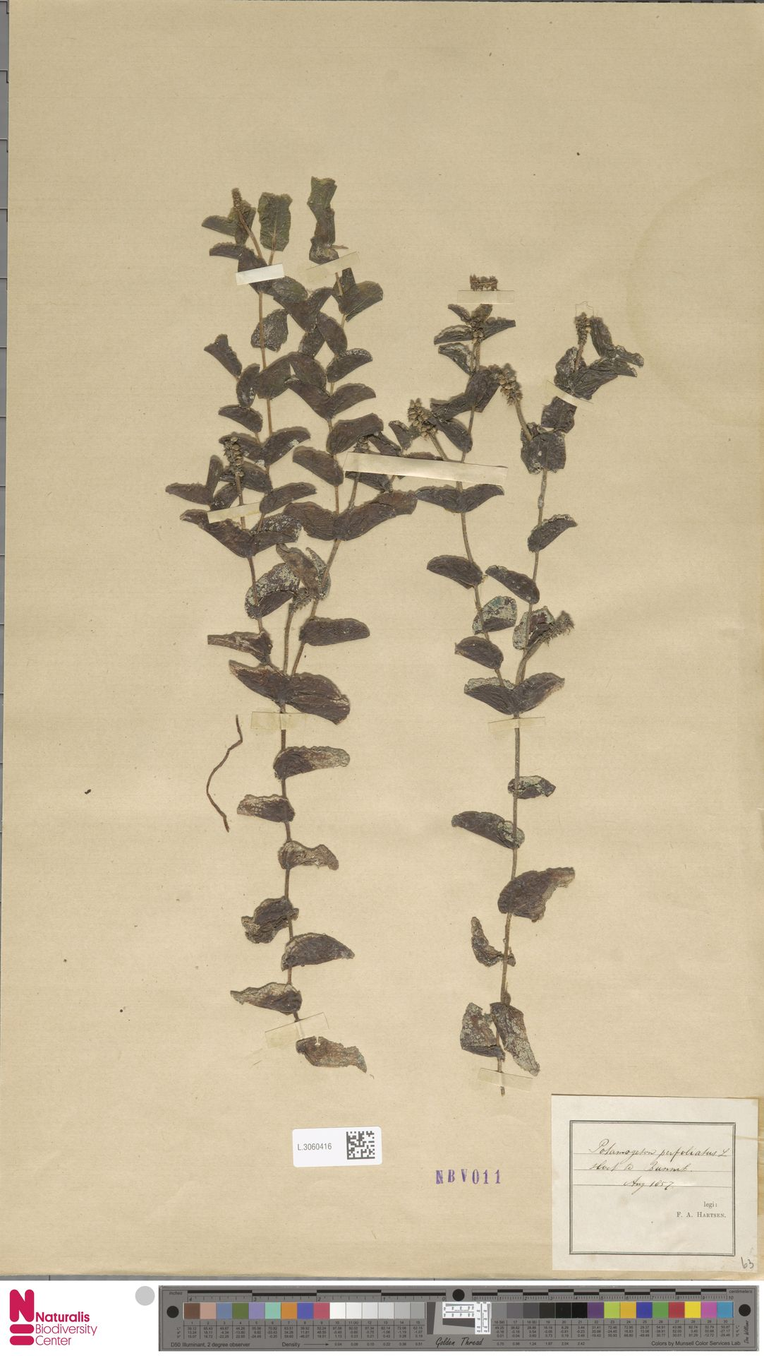 L.3060416 | Potamogeton perfoliatus L.