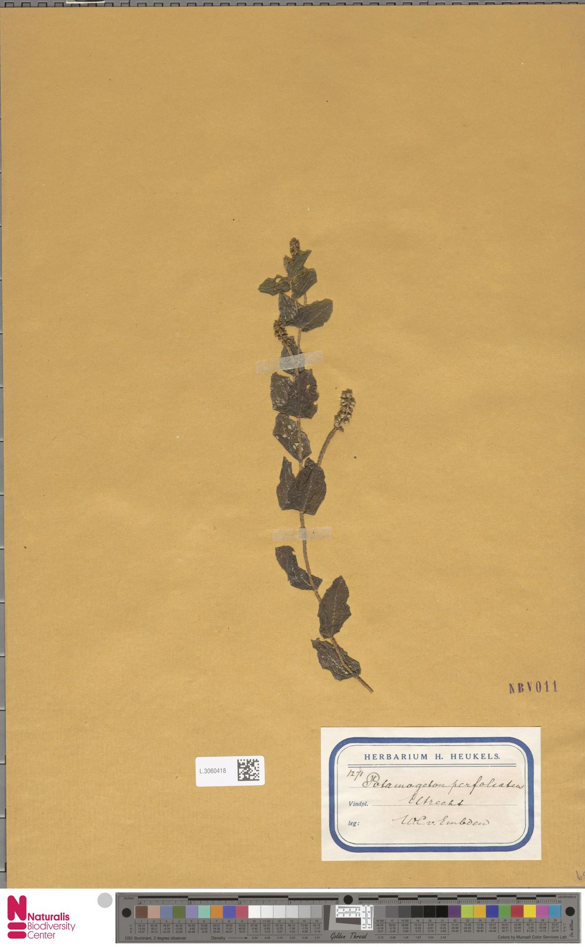 L.3060418   Potamogeton perfoliatus L.
