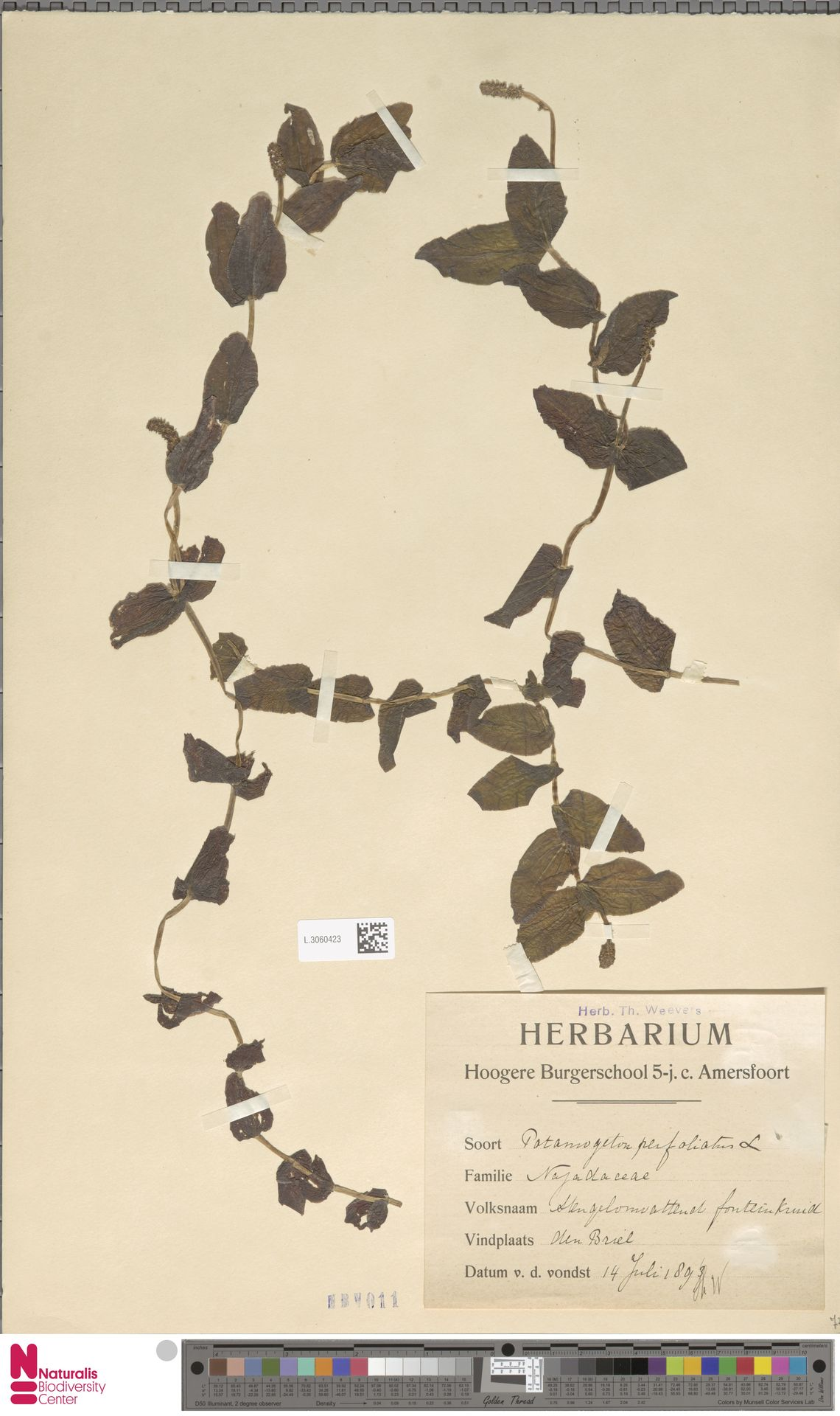 L.3060423   Potamogeton perfoliatus L.