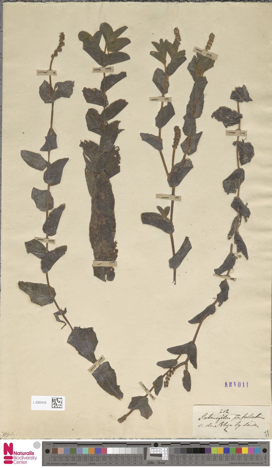 L.3060428   Potamogeton perfoliatus L.