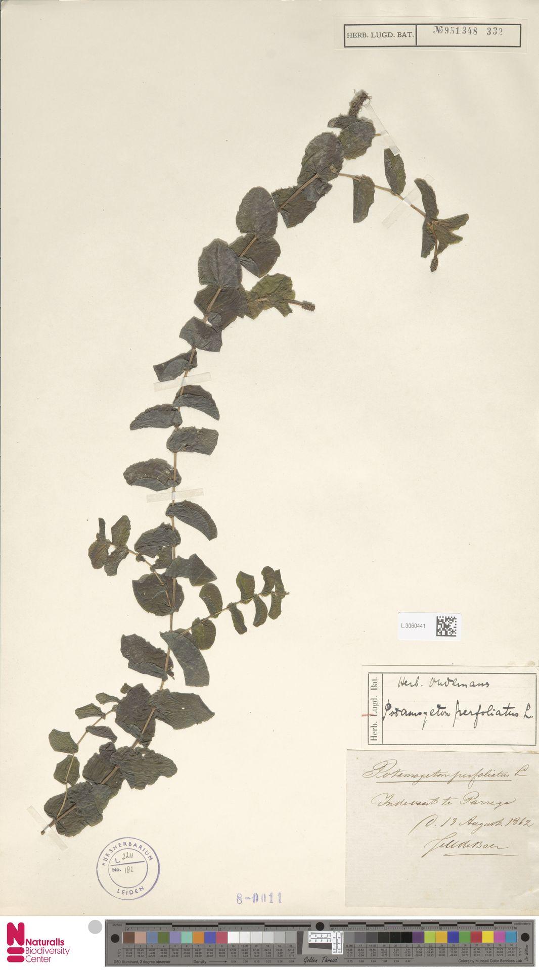 L.3060441 | Potamogeton perfoliatus L.