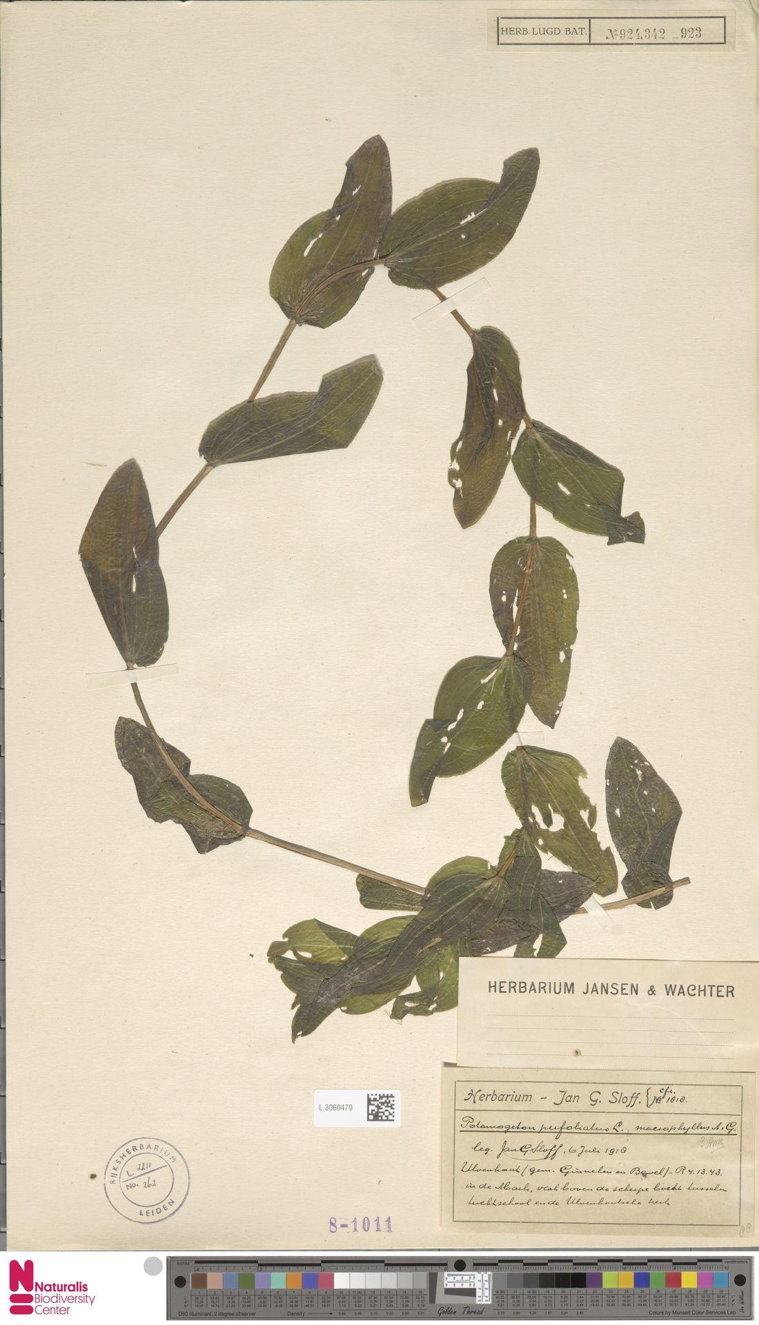 L.3060470   Potamogeton perfoliatus L.