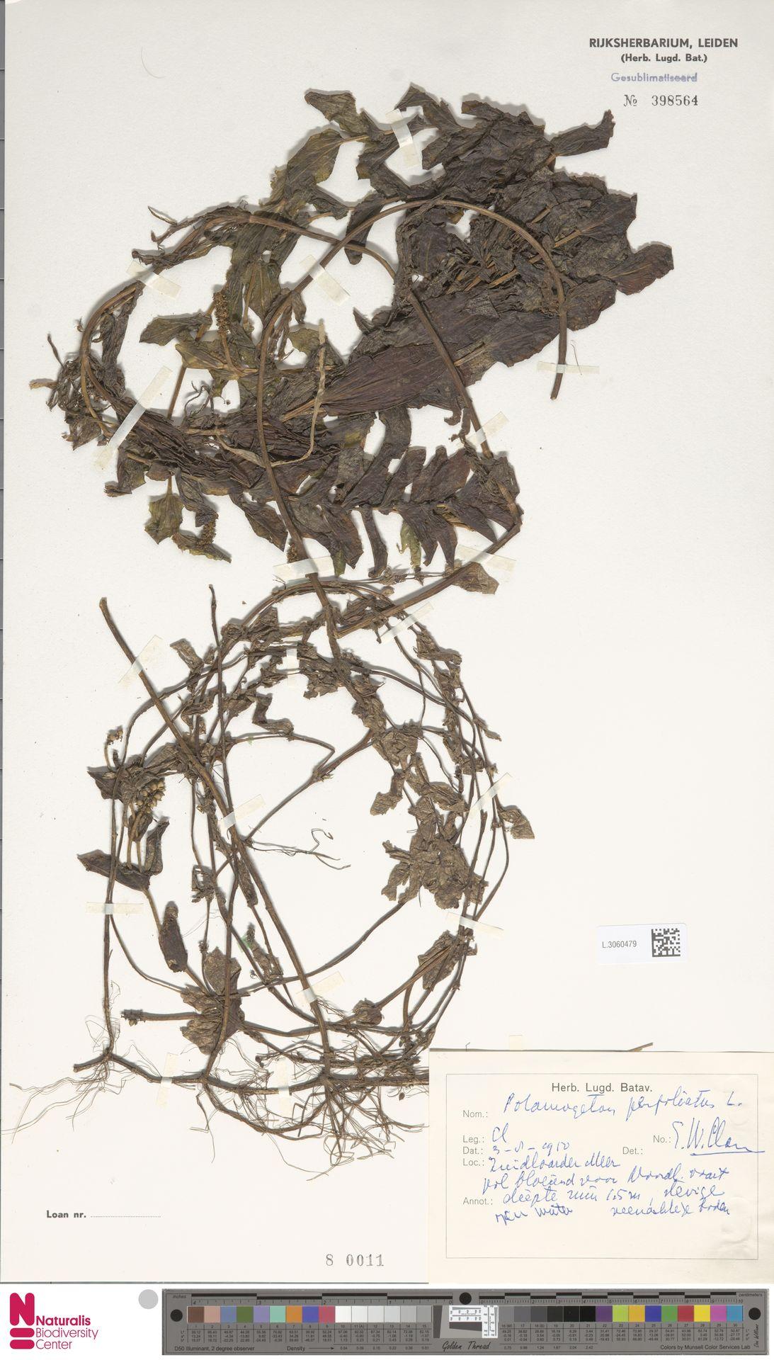 L.3060479 | Potamogeton perfoliatus L.
