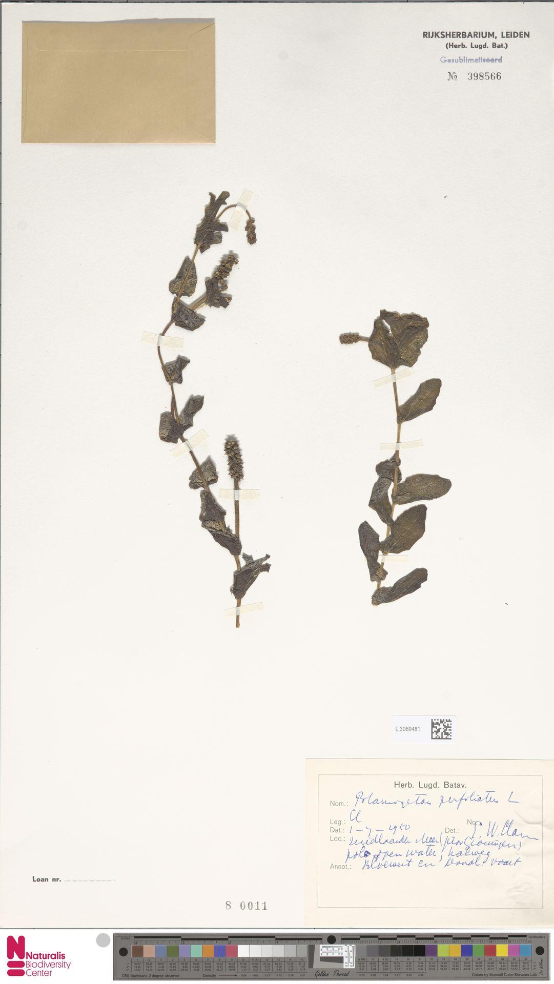 L.3060481 | Potamogeton perfoliatus L.