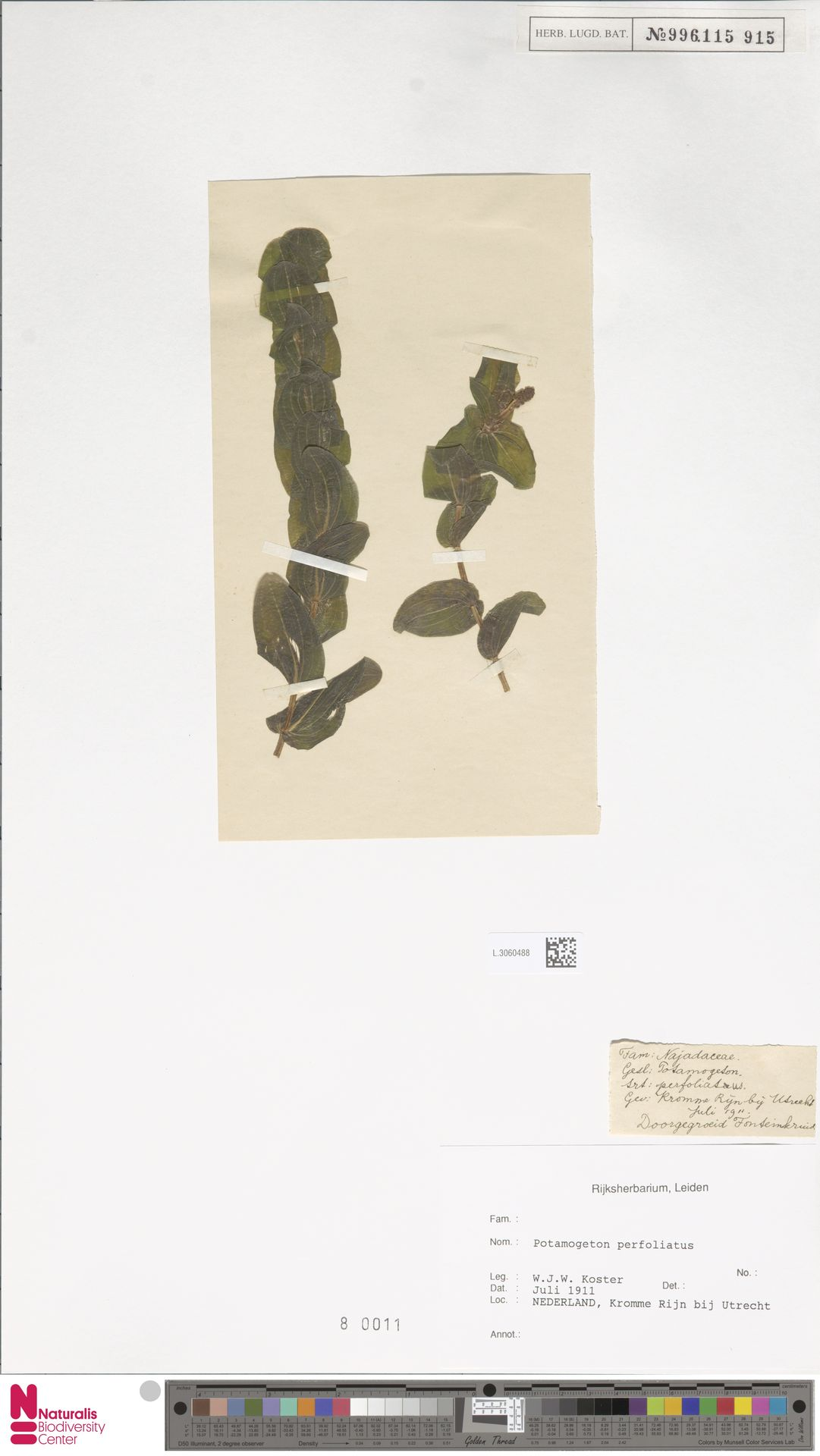 L.3060488 | Potamogeton perfoliatus L.