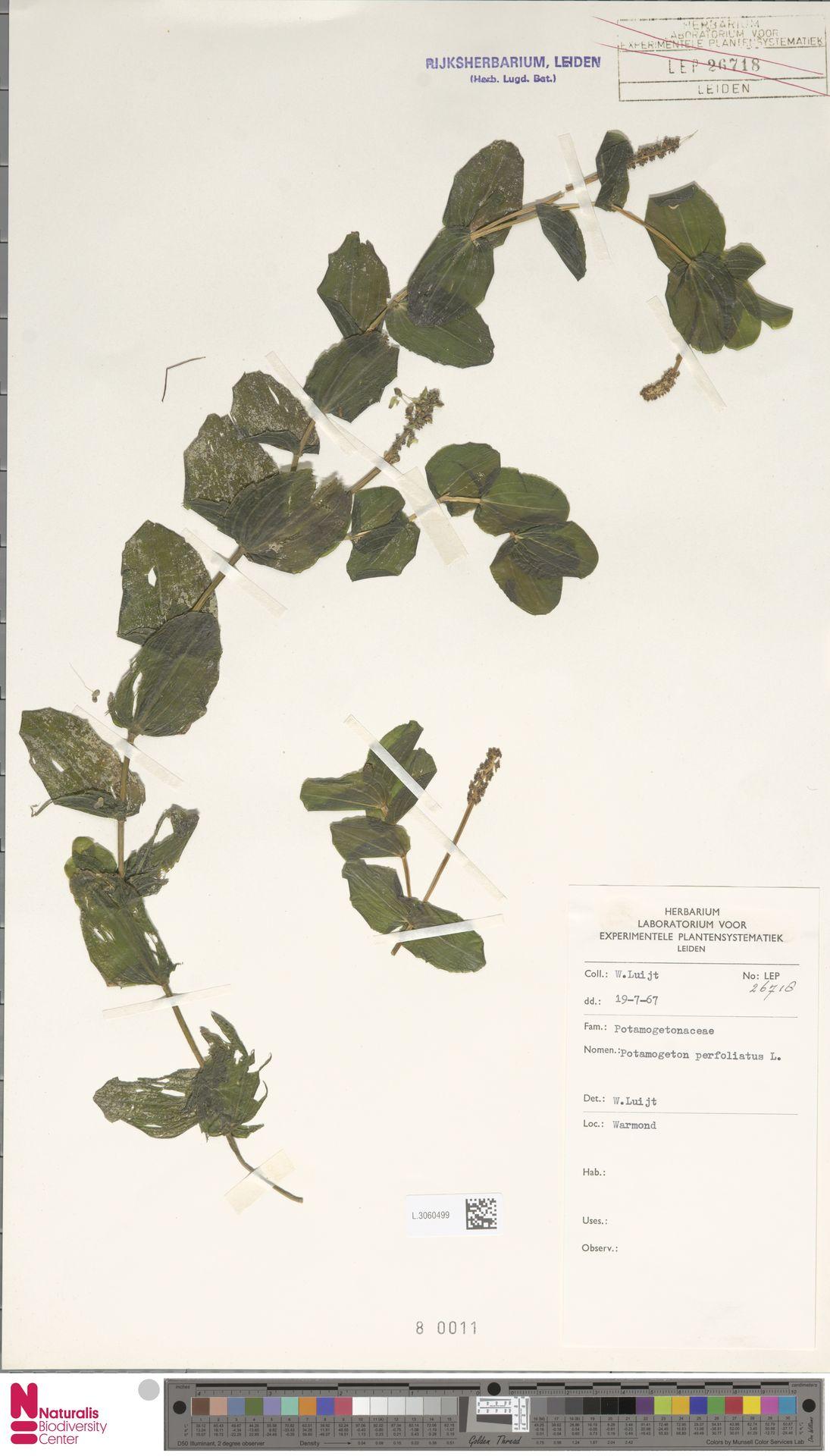 L.3060499 | Potamogeton perfoliatus L.
