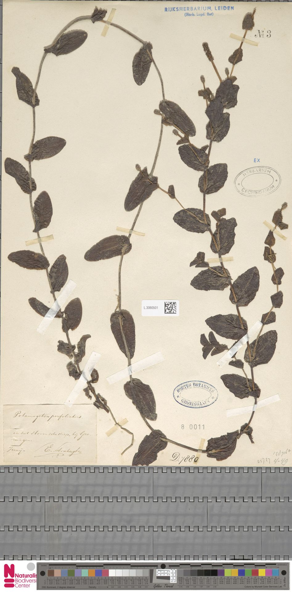 L.3060501 | Potamogeton perfoliatus L.