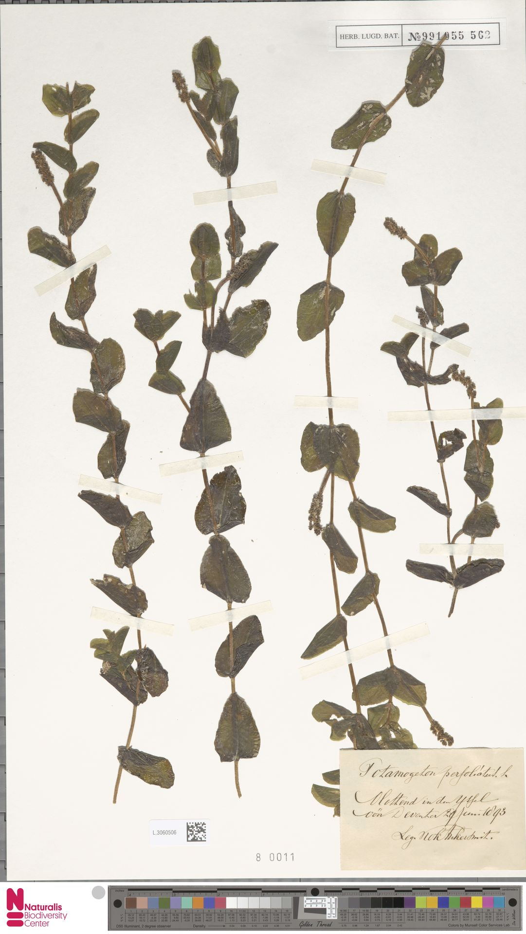 L.3060506 | Potamogeton perfoliatus L.