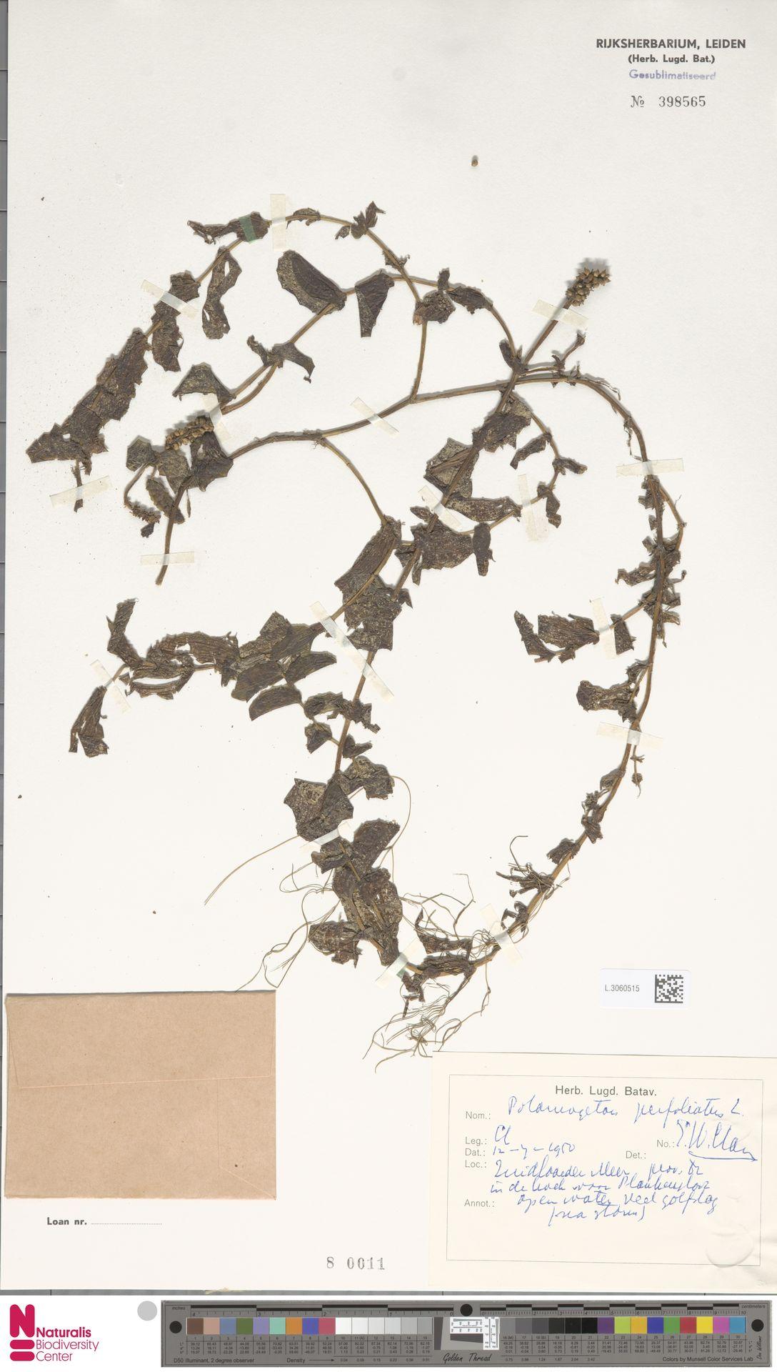 L.3060515 | Potamogeton perfoliatus L.