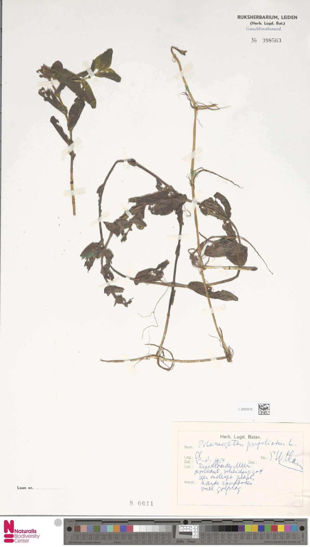 L.3060516   Potamogeton perfoliatus L.