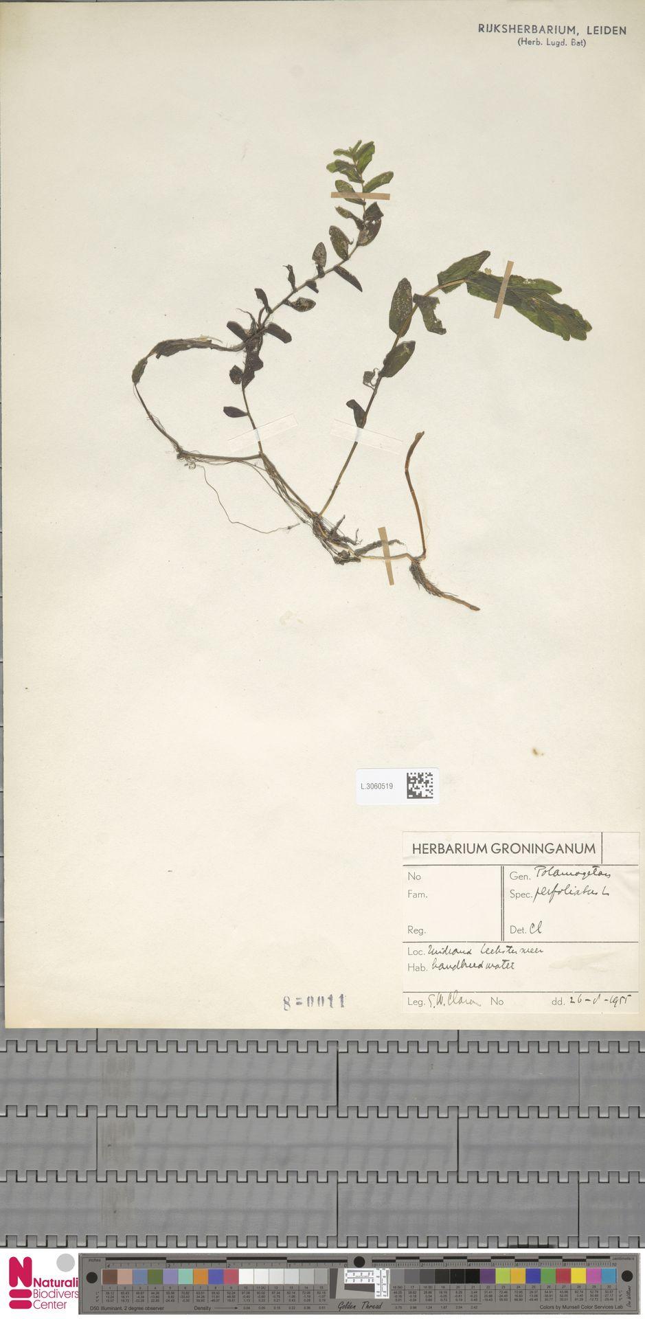 L.3060519 | Potamogeton perfoliatus L.