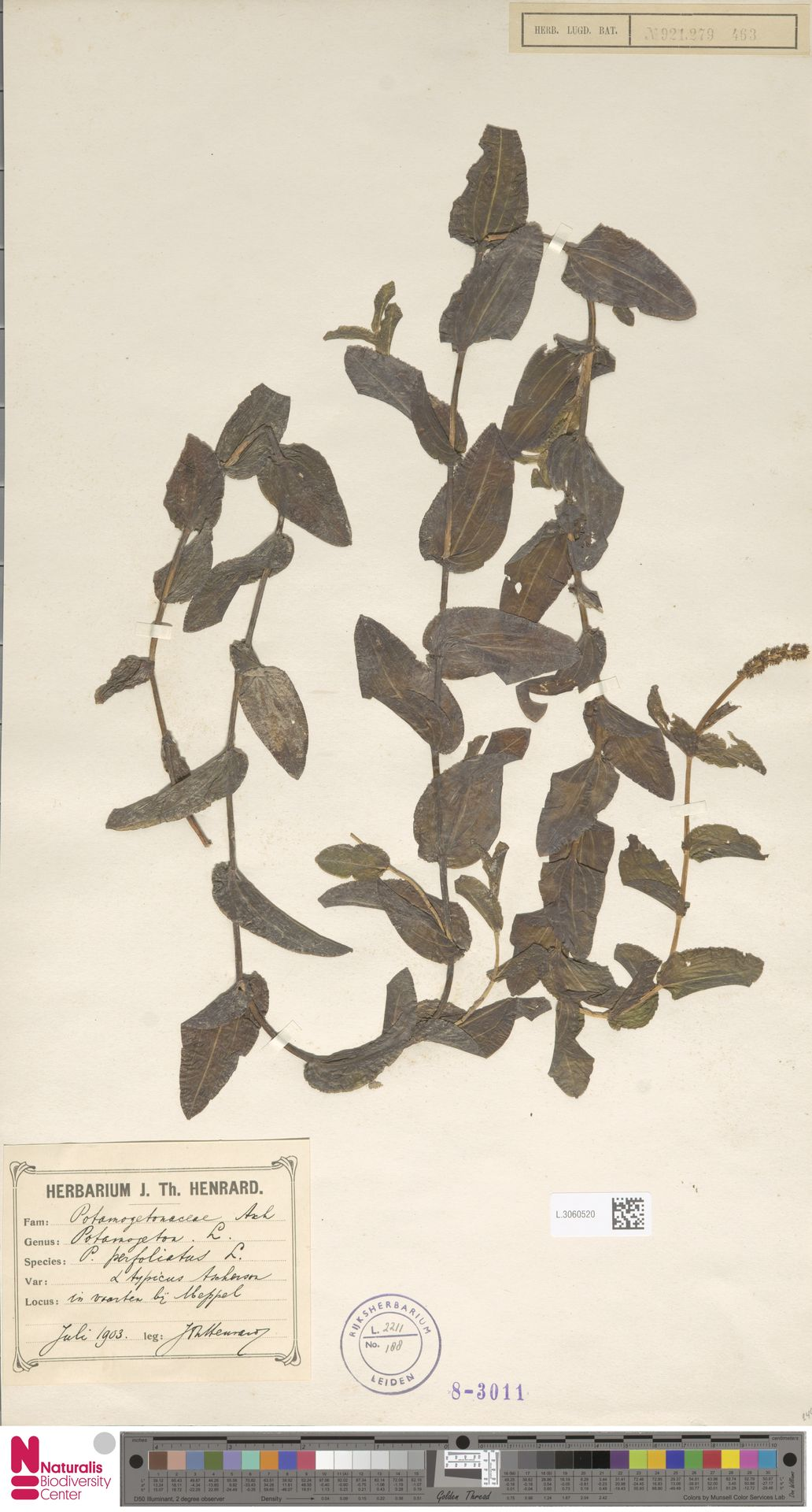 L.3060520 | Potamogeton perfoliatus L.