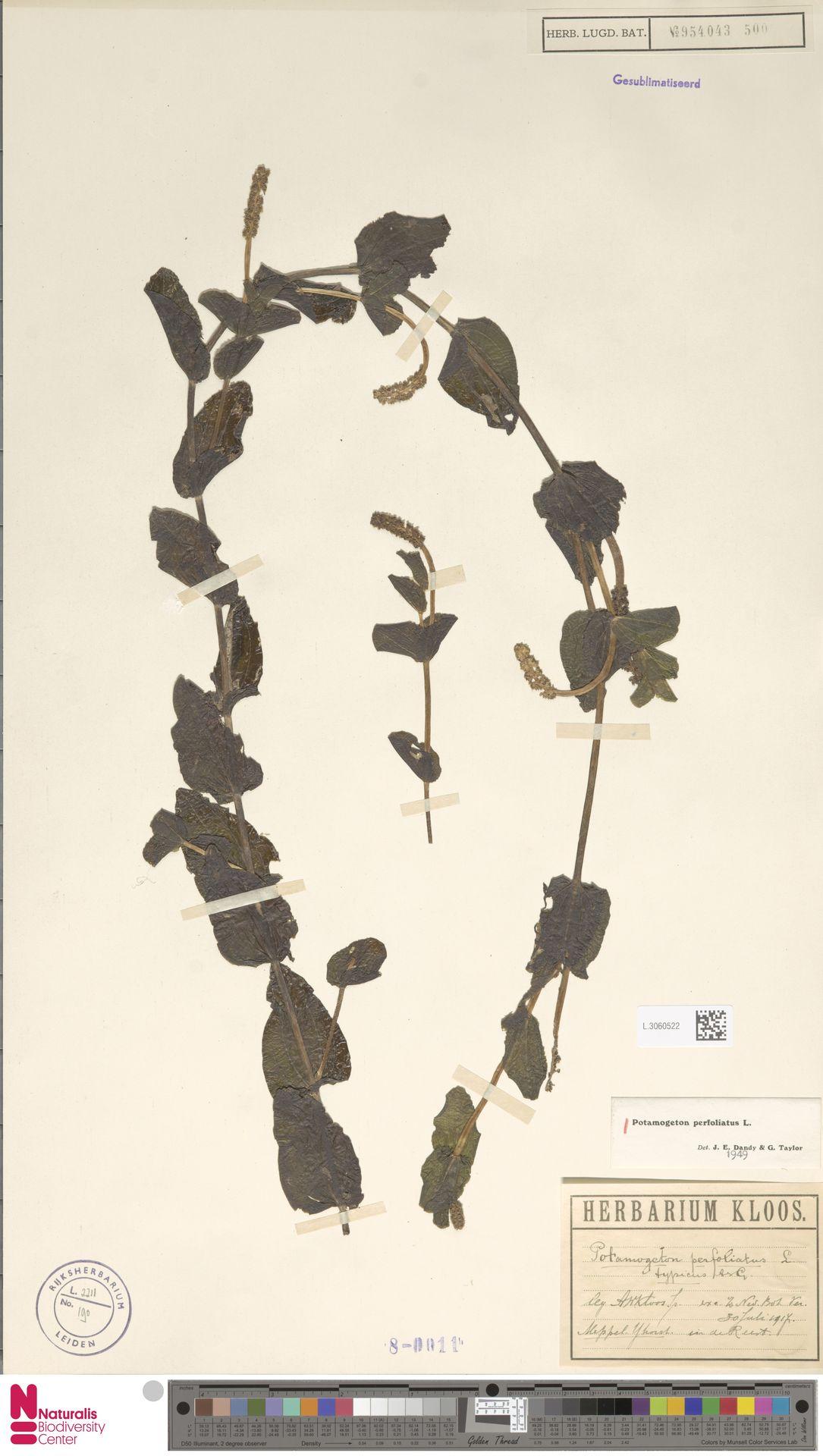 L.3060522 | Potamogeton perfoliatus L.
