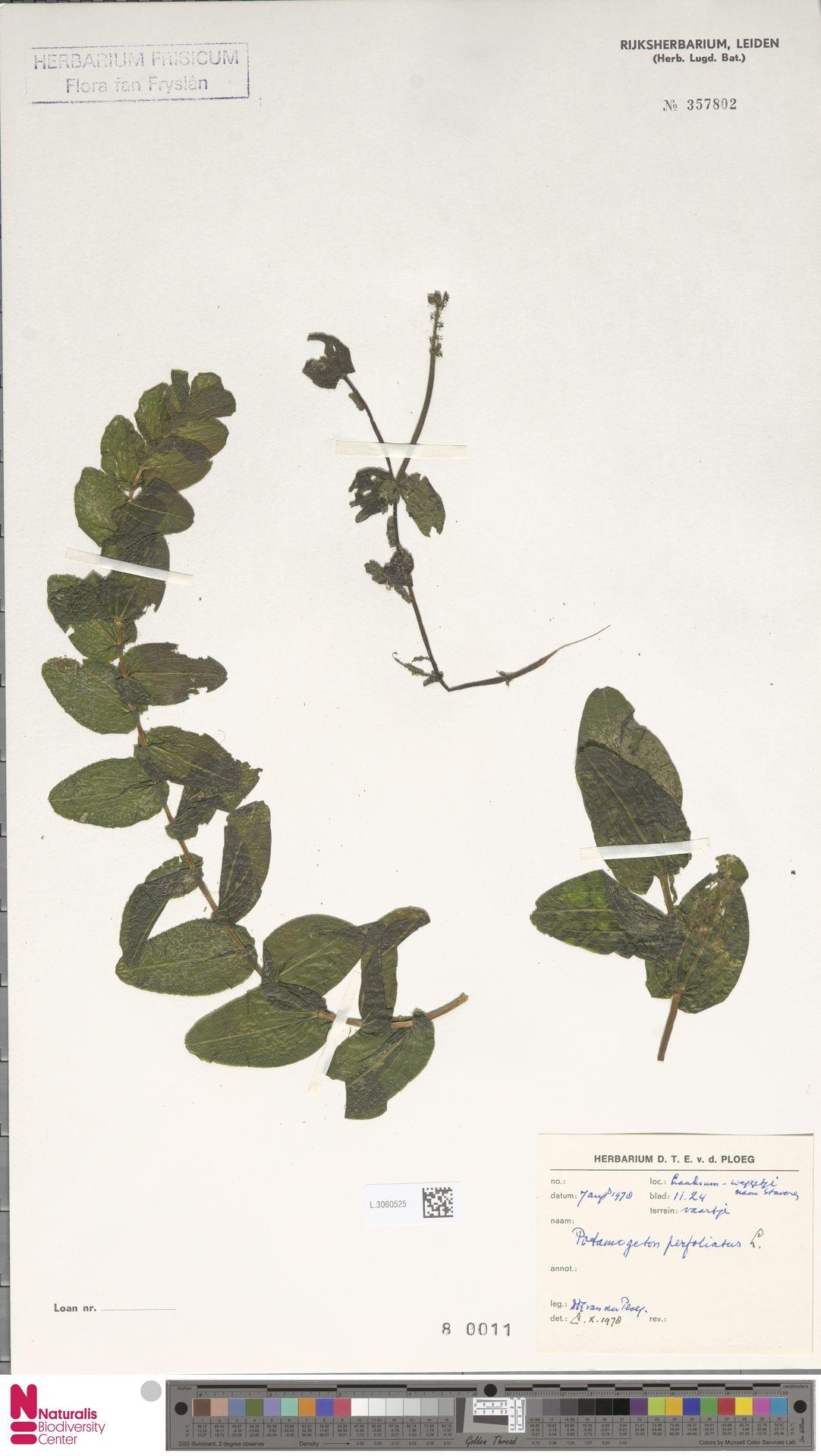 L.3060525 | Potamogeton perfoliatus L.