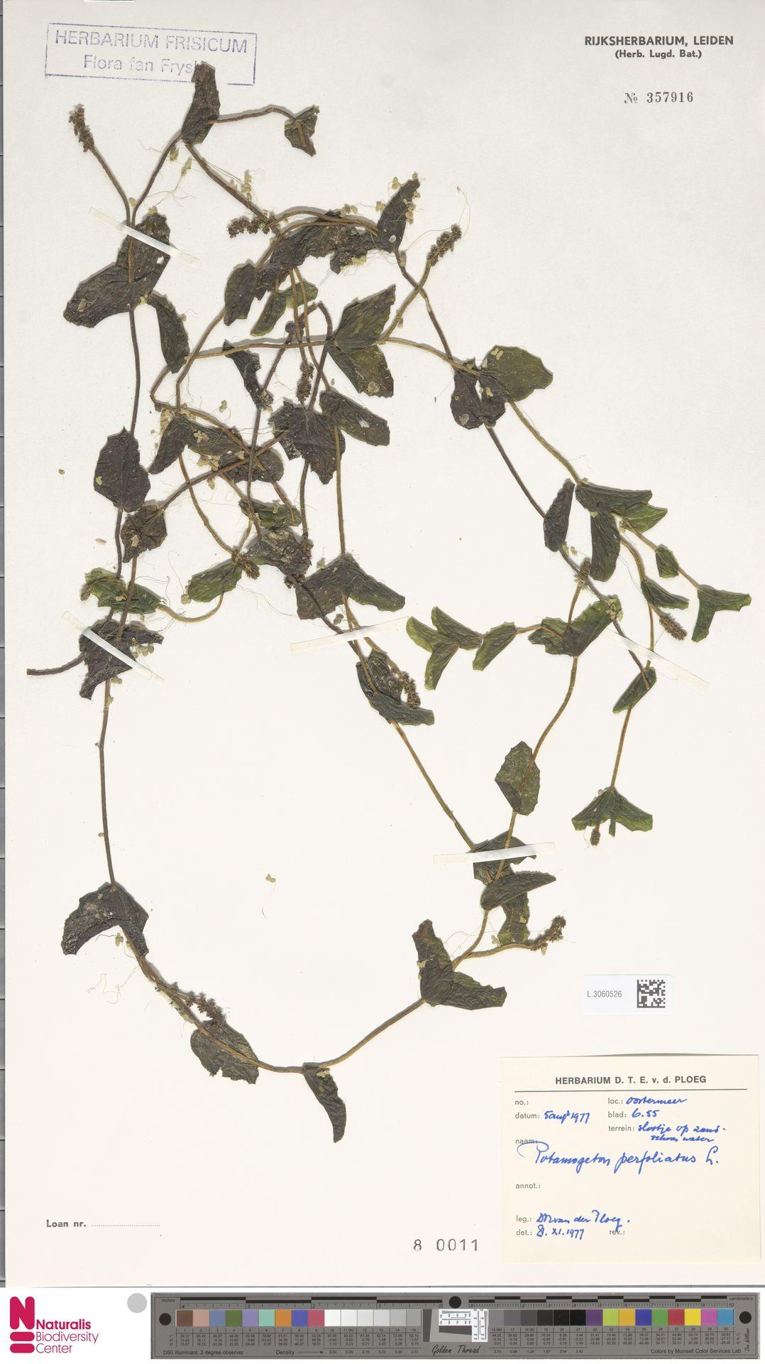 L.3060526   Potamogeton perfoliatus L.
