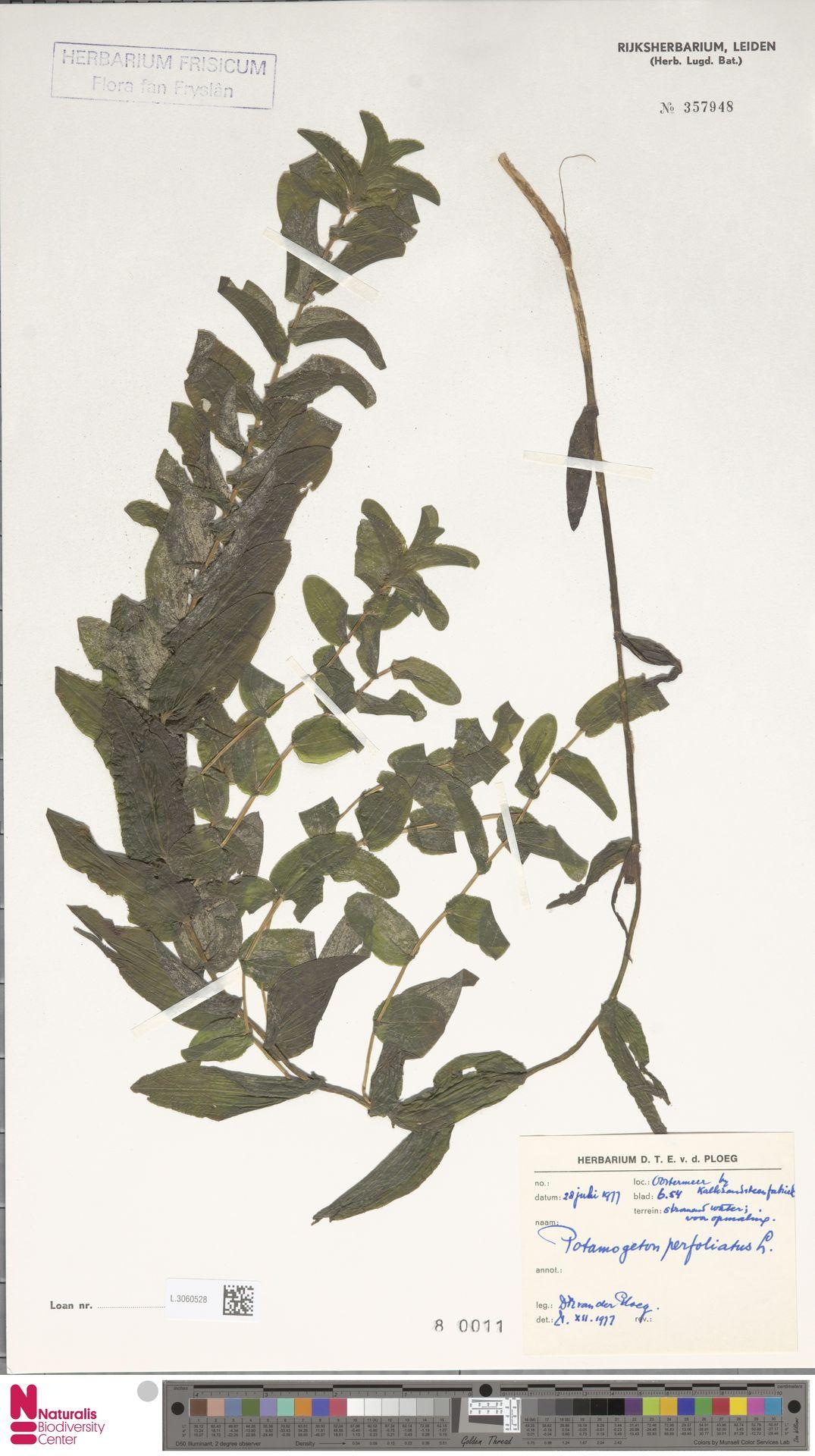 L.3060528 | Potamogeton perfoliatus L.
