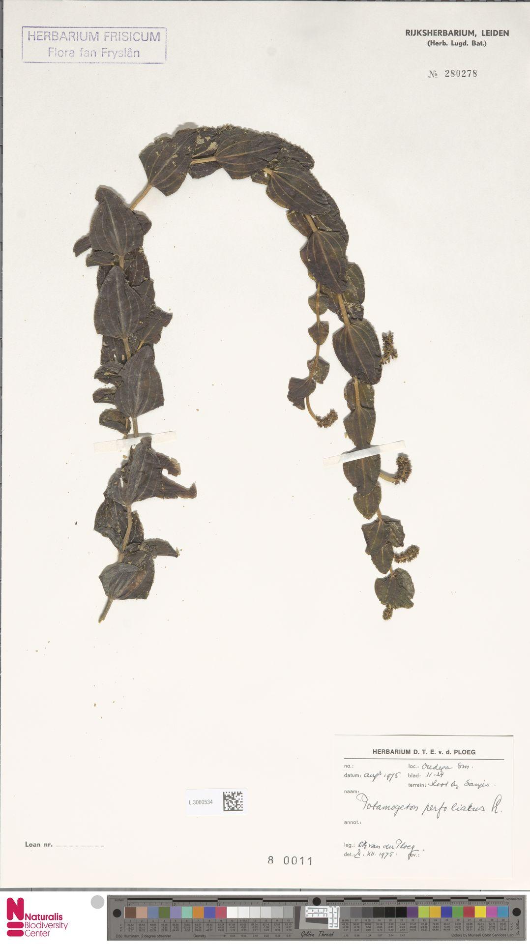 L.3060534 | Potamogeton perfoliatus L.