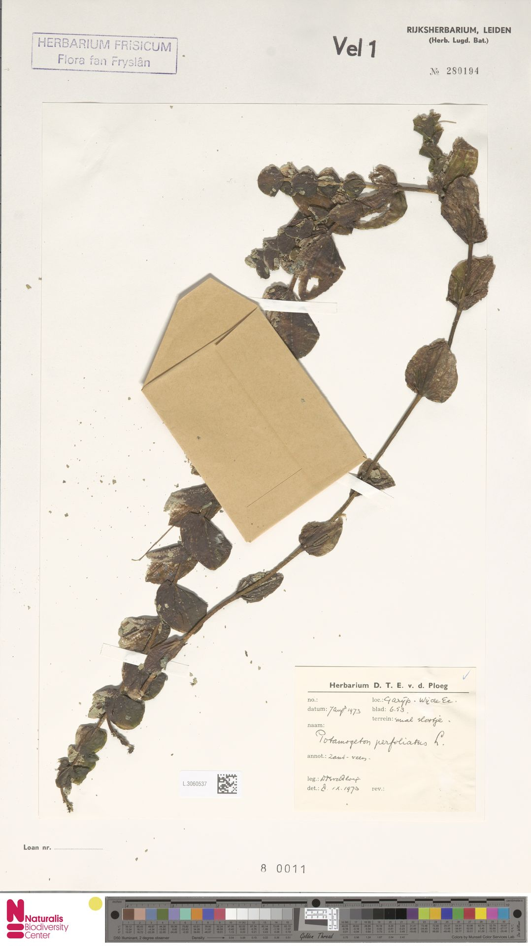 L.3060537 | Potamogeton perfoliatus L.