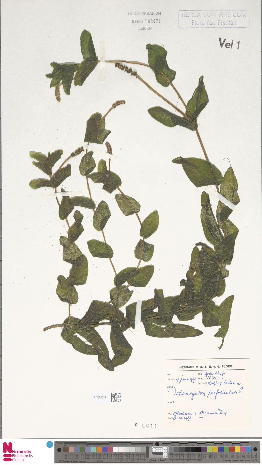 L.3060539   Potamogeton perfoliatus L.