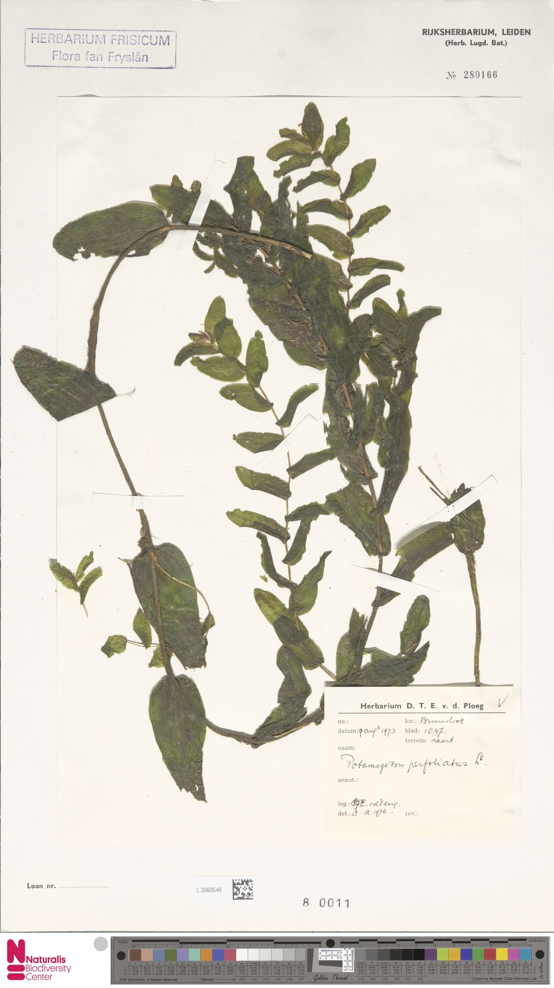 L.3060546   Potamogeton perfoliatus L.