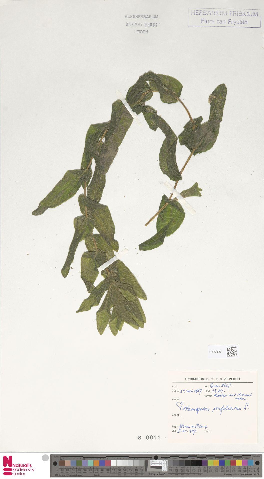 L.3060550 | Potamogeton perfoliatus L.