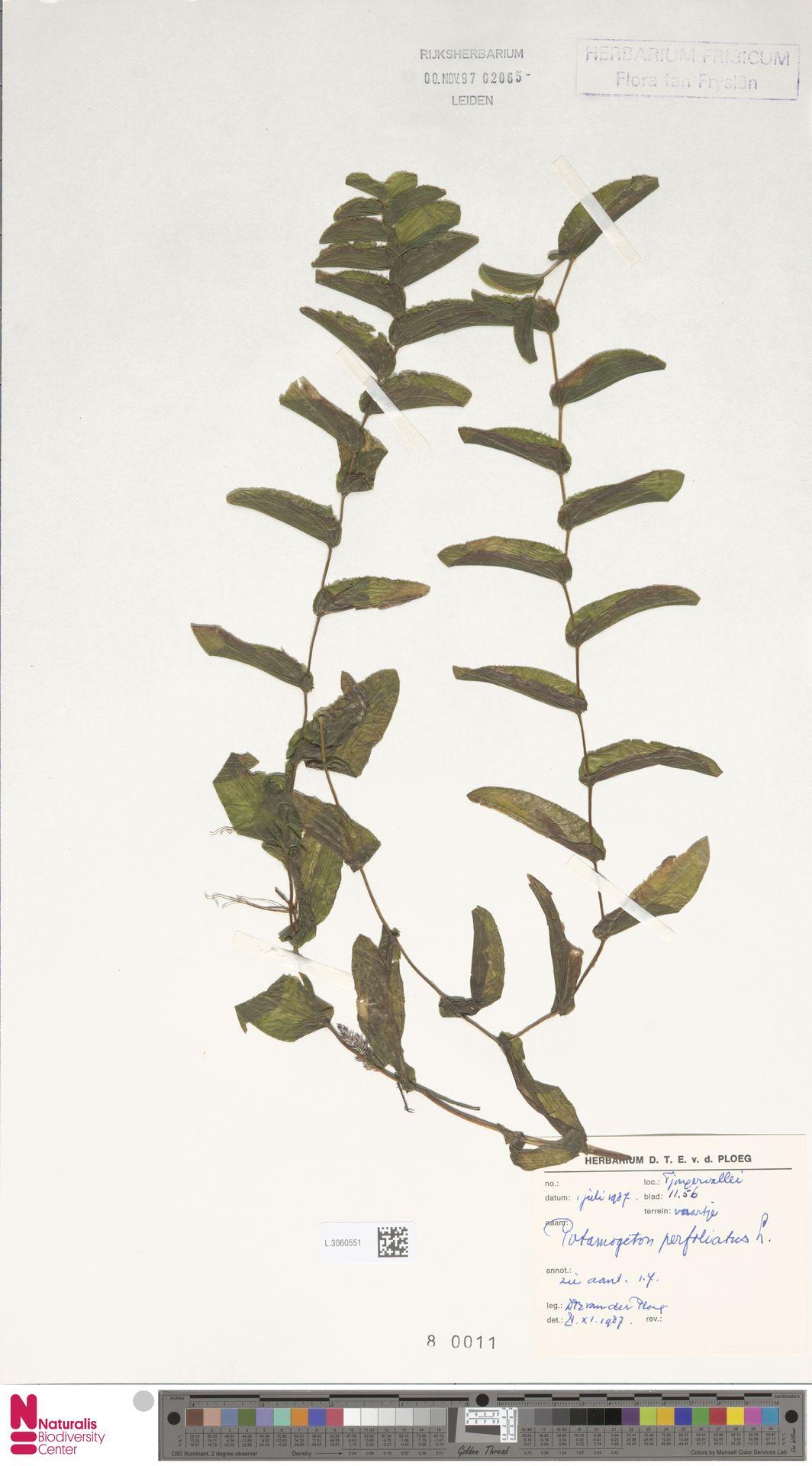 L.3060551 | Potamogeton perfoliatus L.