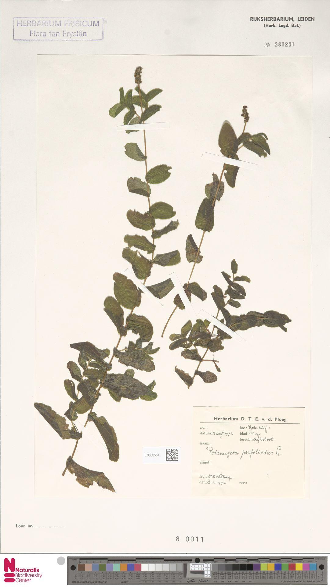 L.3060554 | Potamogeton perfoliatus L.