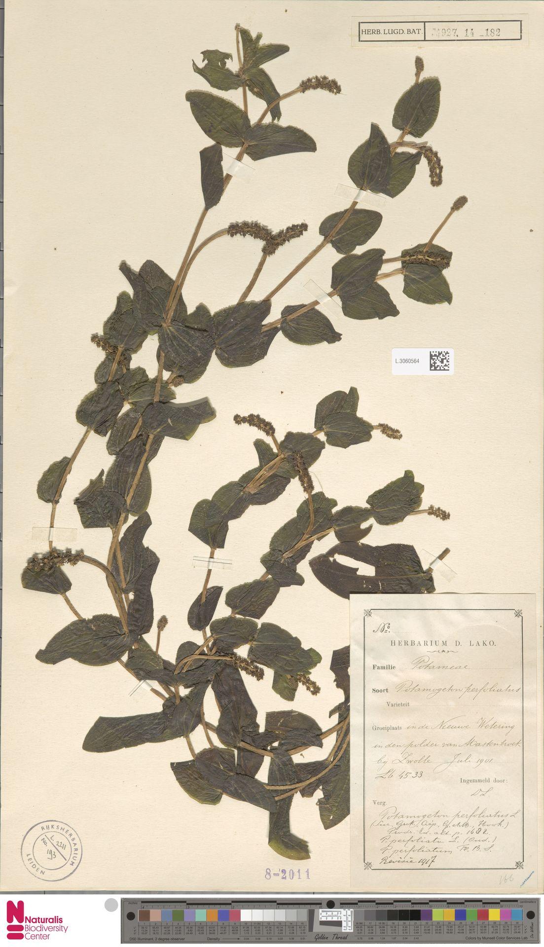 L.3060564 | Potamogeton perfoliatus L.