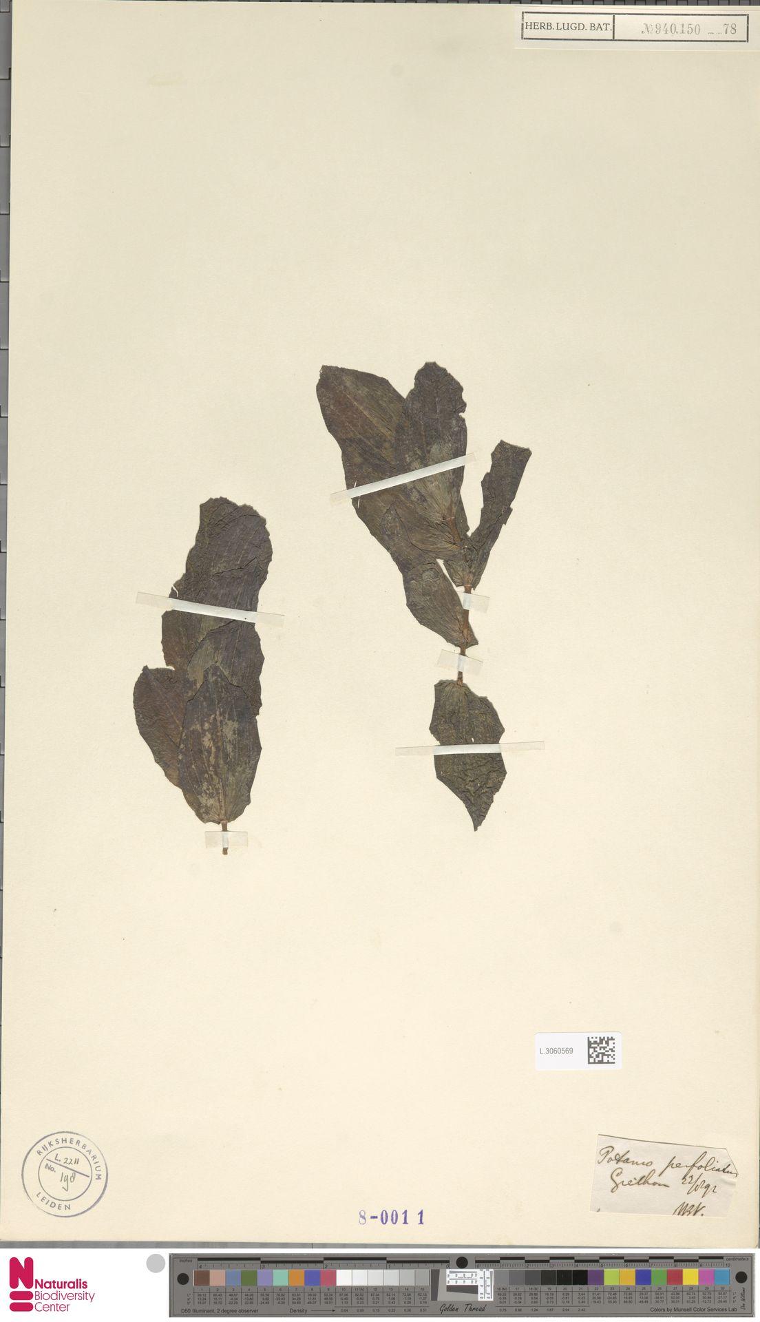 L.3060569 | Potamogeton perfoliatus L.