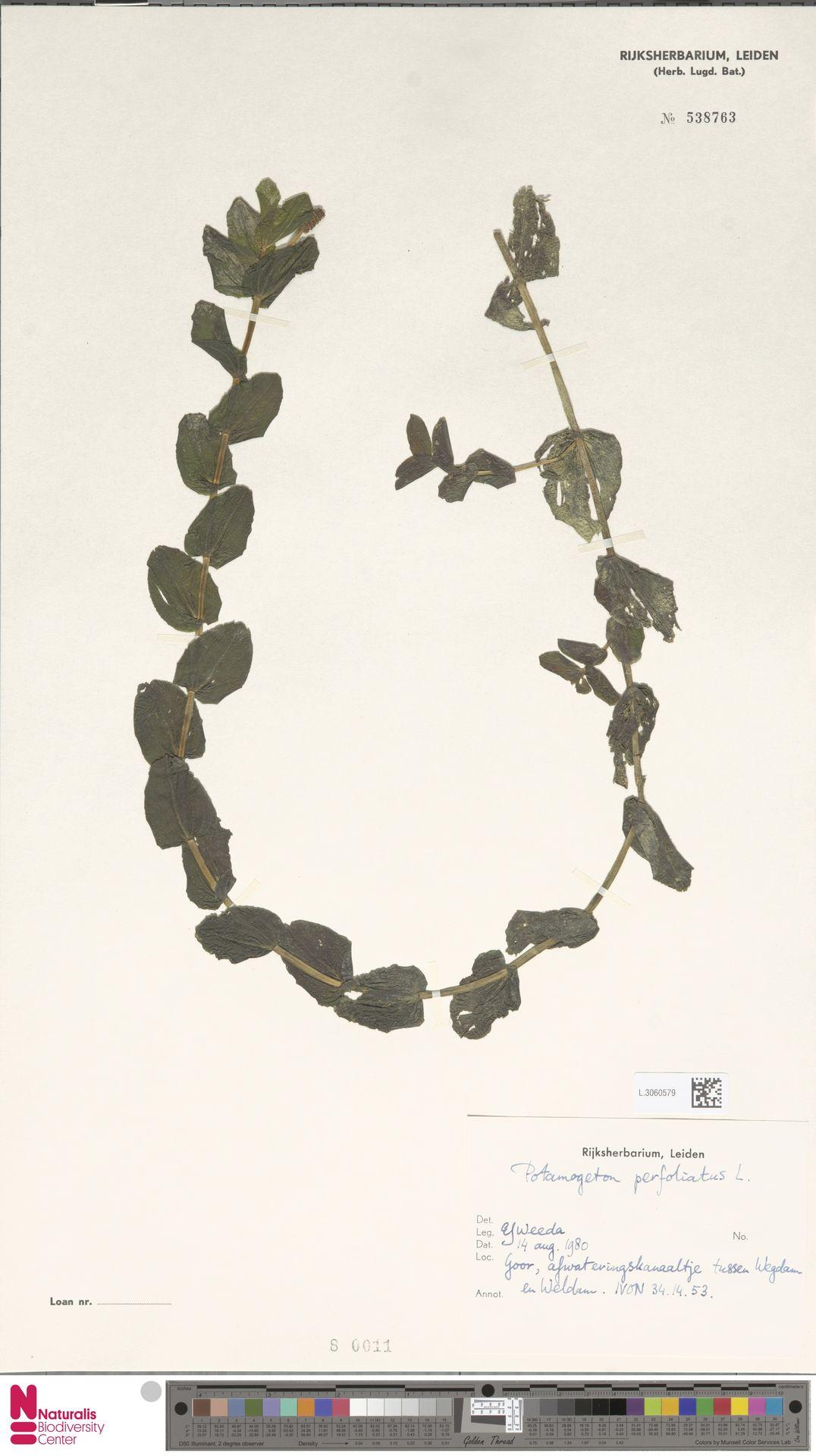 L.3060579 | Potamogeton perfoliatus L.