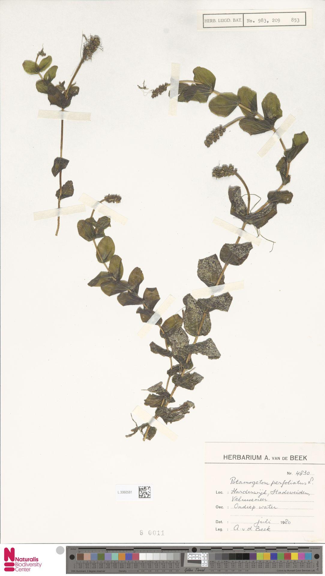 L.3060581   Potamogeton perfoliatus L.
