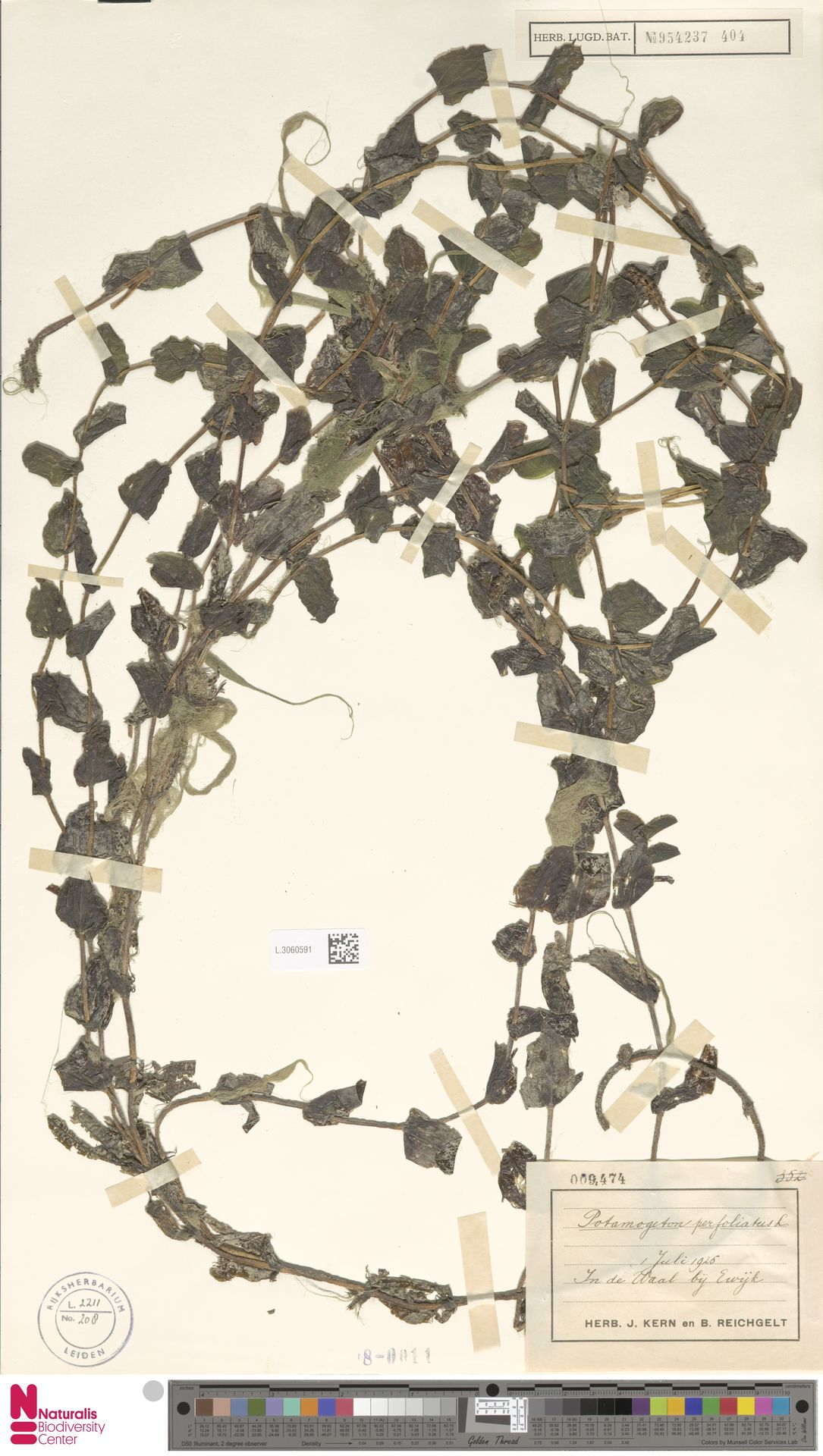 L.3060591 | Potamogeton perfoliatus L.
