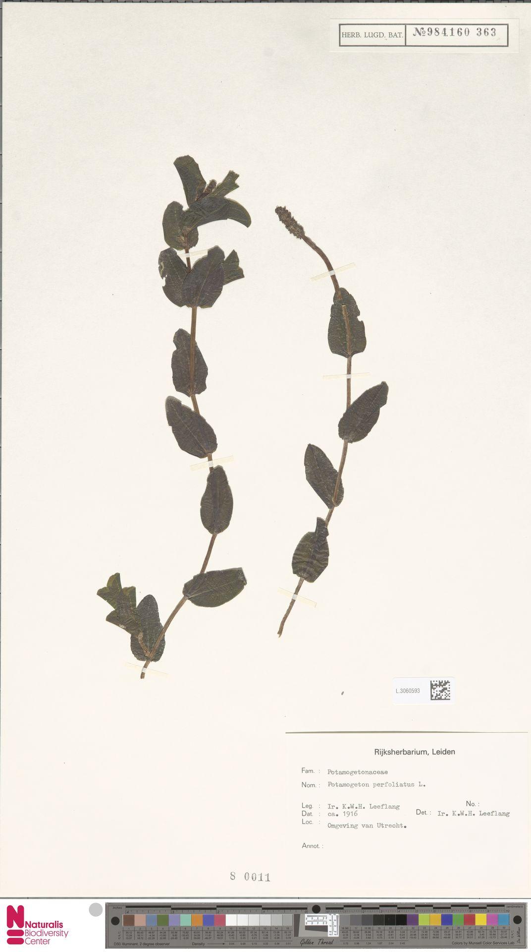 L.3060593 | Potamogeton perfoliatus L.