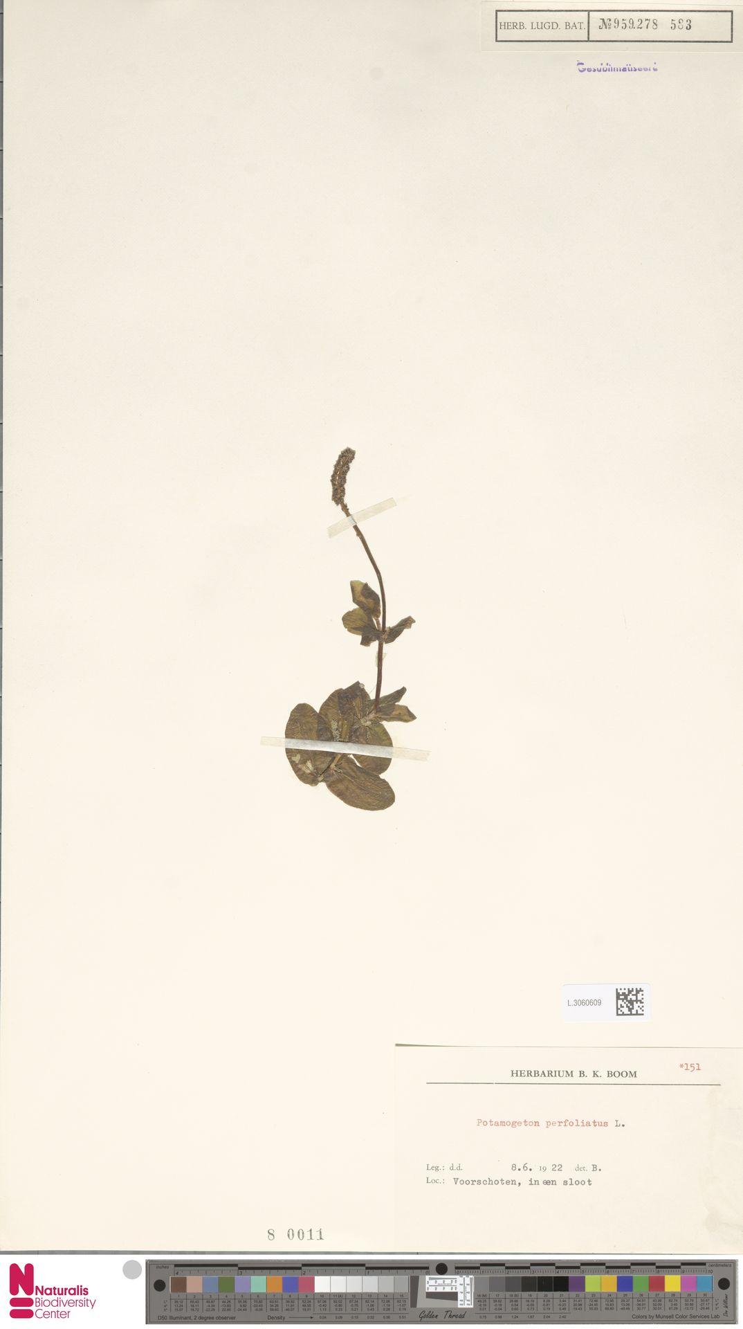L.3060609 | Potamogeton perfoliatus L.