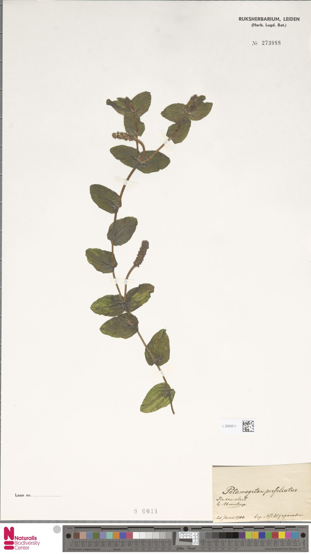 L.3060611 | Potamogeton perfoliatus L.