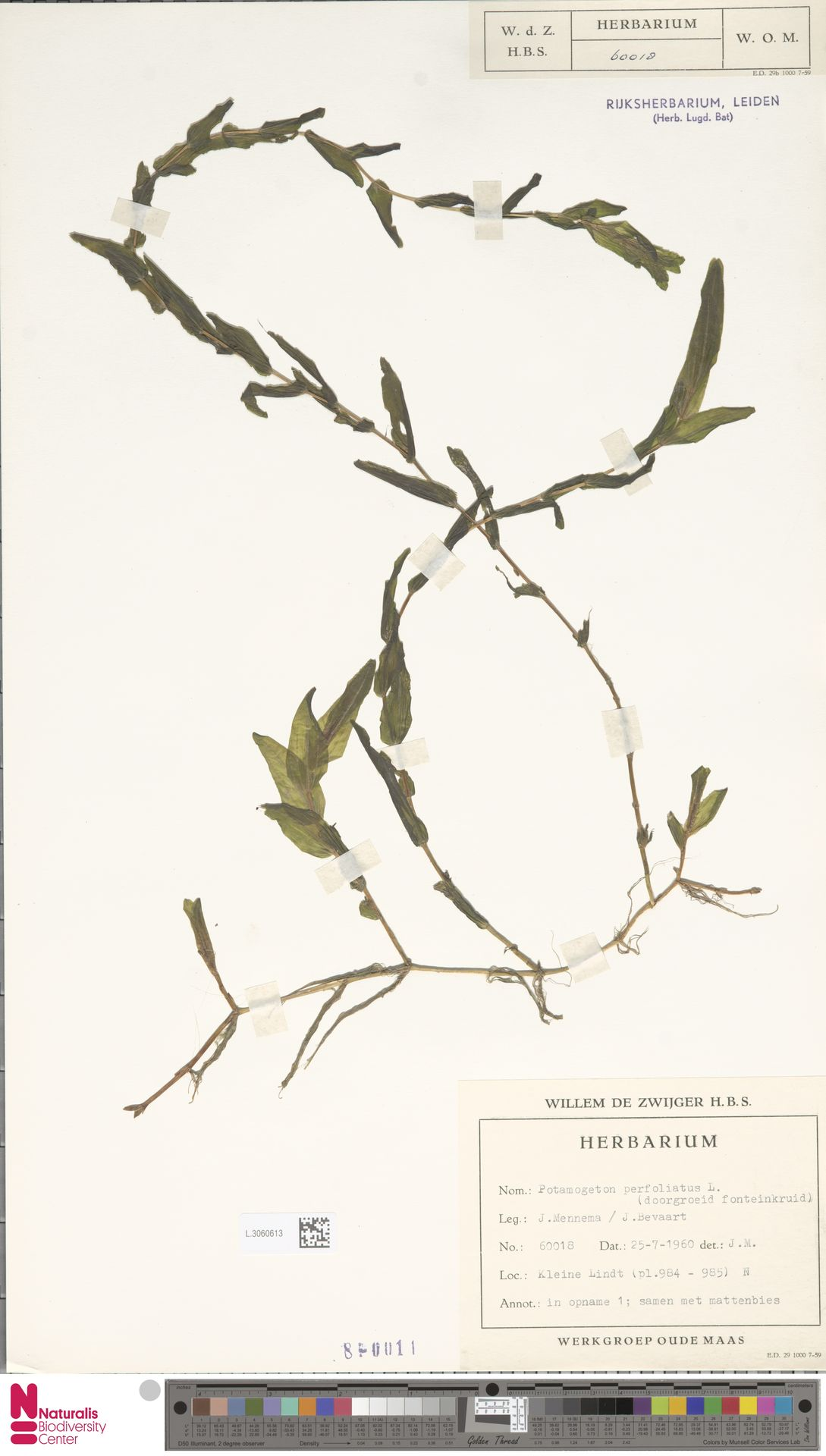 L.3060613 | Potamogeton perfoliatus L.