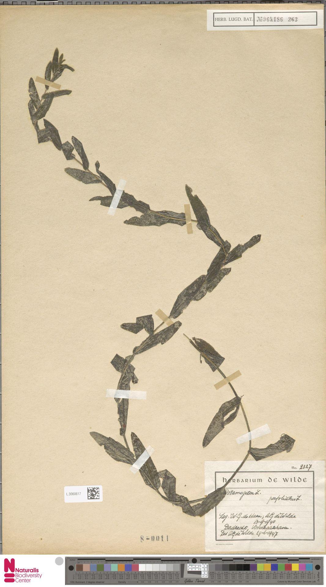 L.3060617 | Potamogeton perfoliatus L.