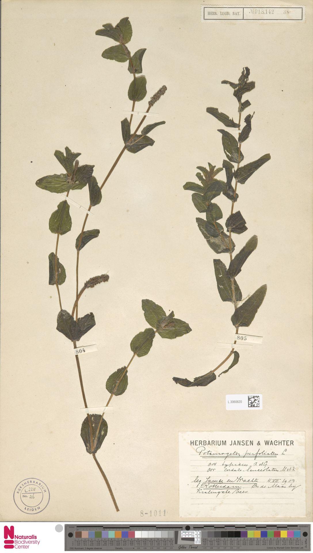 L.3060620   Potamogeton perfoliatus L.