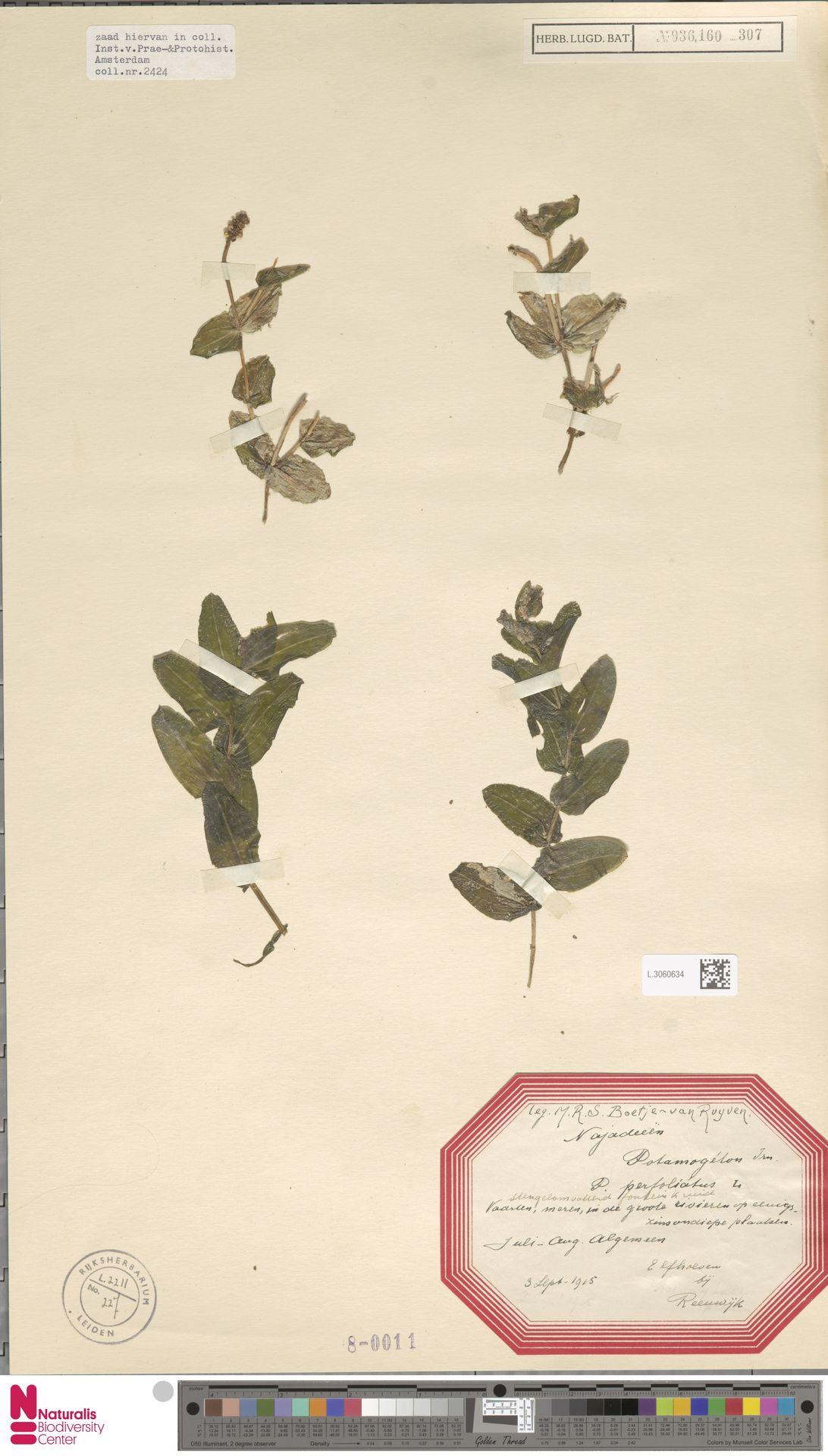 L.3060634 | Potamogeton perfoliatus L.