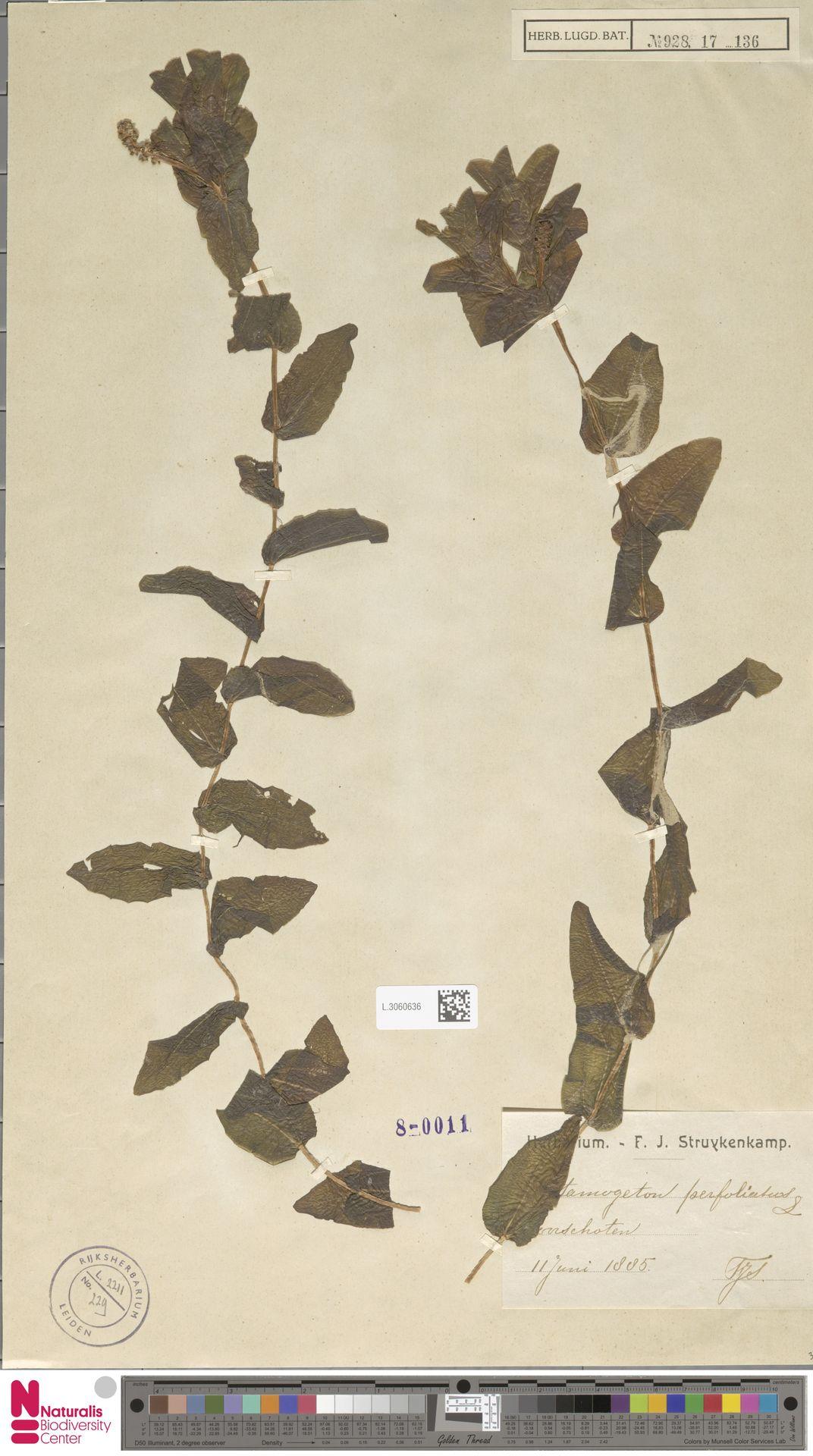 L.3060636 | Potamogeton perfoliatus L.