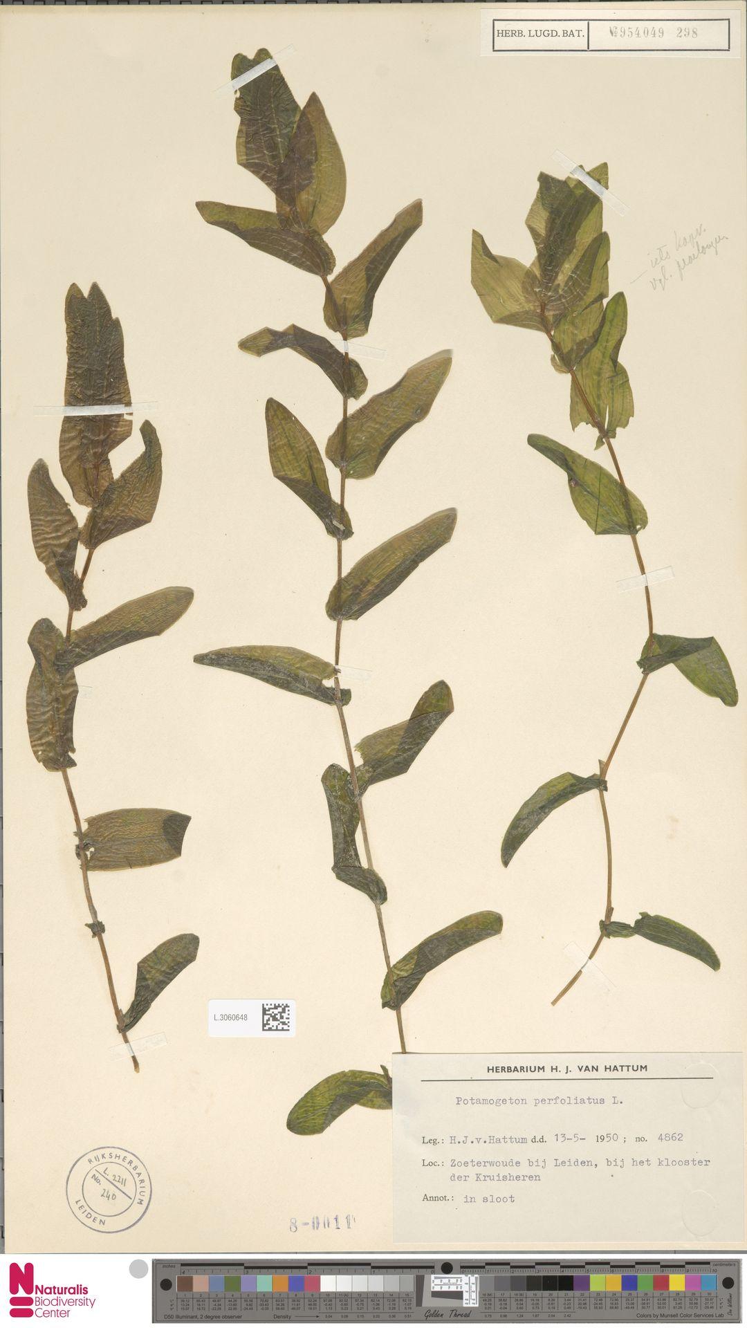 L.3060648   Potamogeton perfoliatus L.