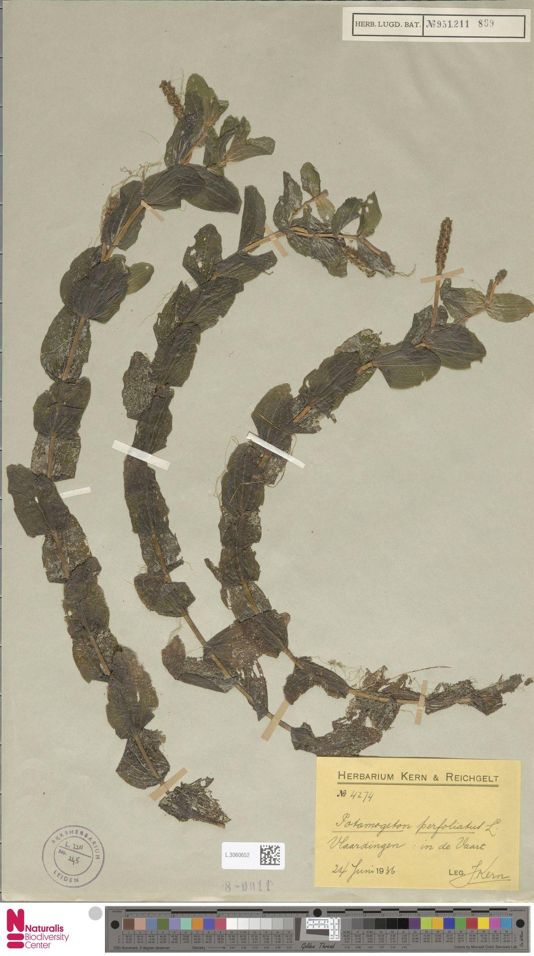 L.3060652 | Potamogeton perfoliatus L.
